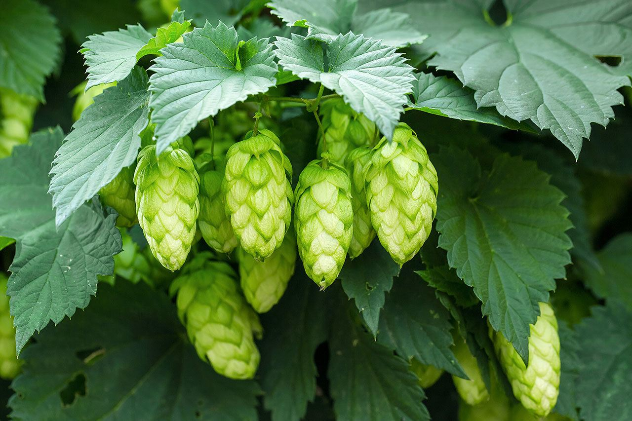 how to grow hops in canada