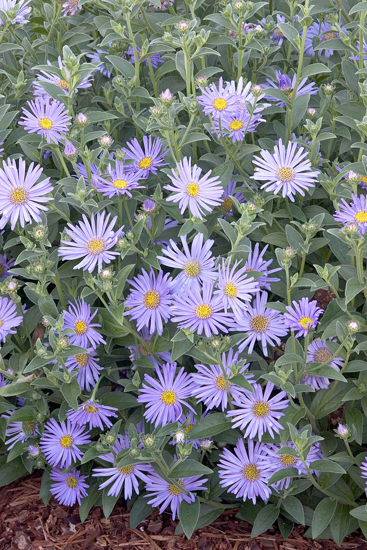 Plant Of Merit Woods Blue New York Aster Heraldnet