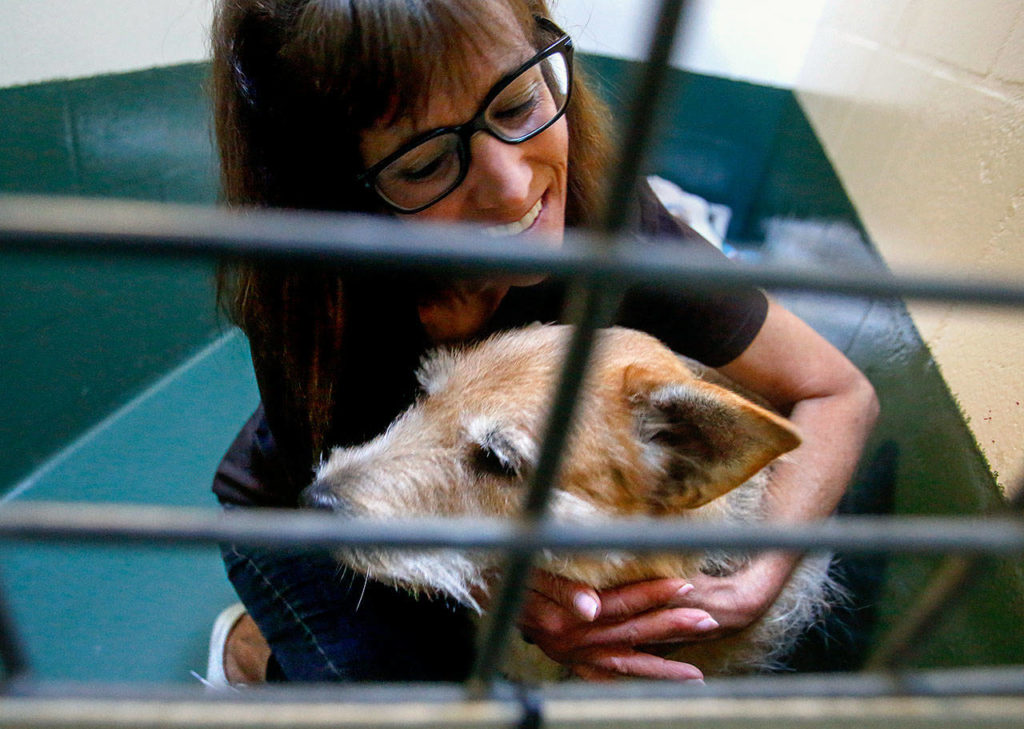 """PAWS' Laura Follis embraces Sandy, likely an Airedale-wheaten terrier mix that that suffers from hair loss and other disorders, but who is """"very affectionate!"""" and a """"love bug,"""" according to notes on her kennel. (Dan Bates / The Herald)"""