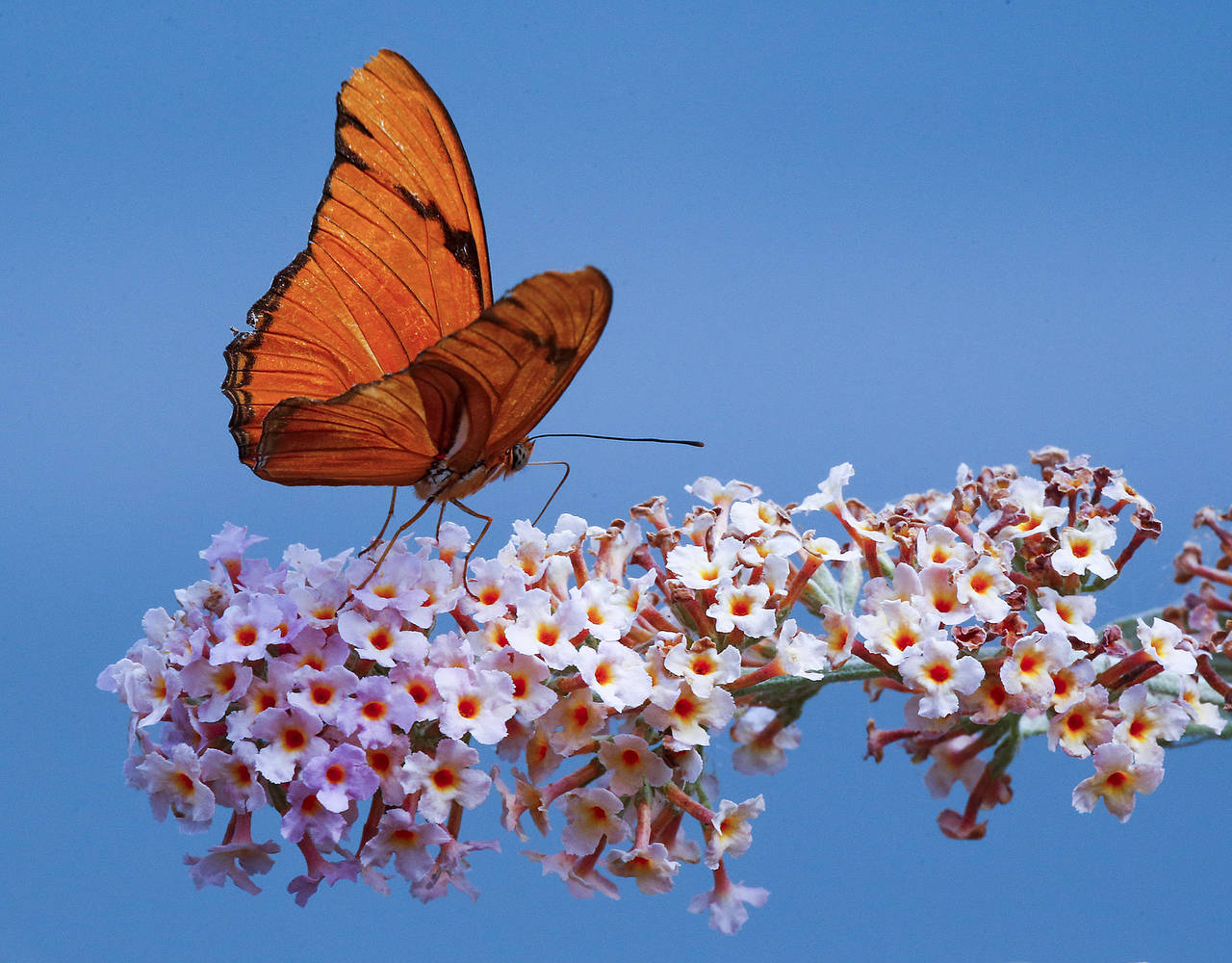 A Dryas iulia, more commonly known as a Julia butterfly, is seen at the zoo. (Ian Terry / The Herald)