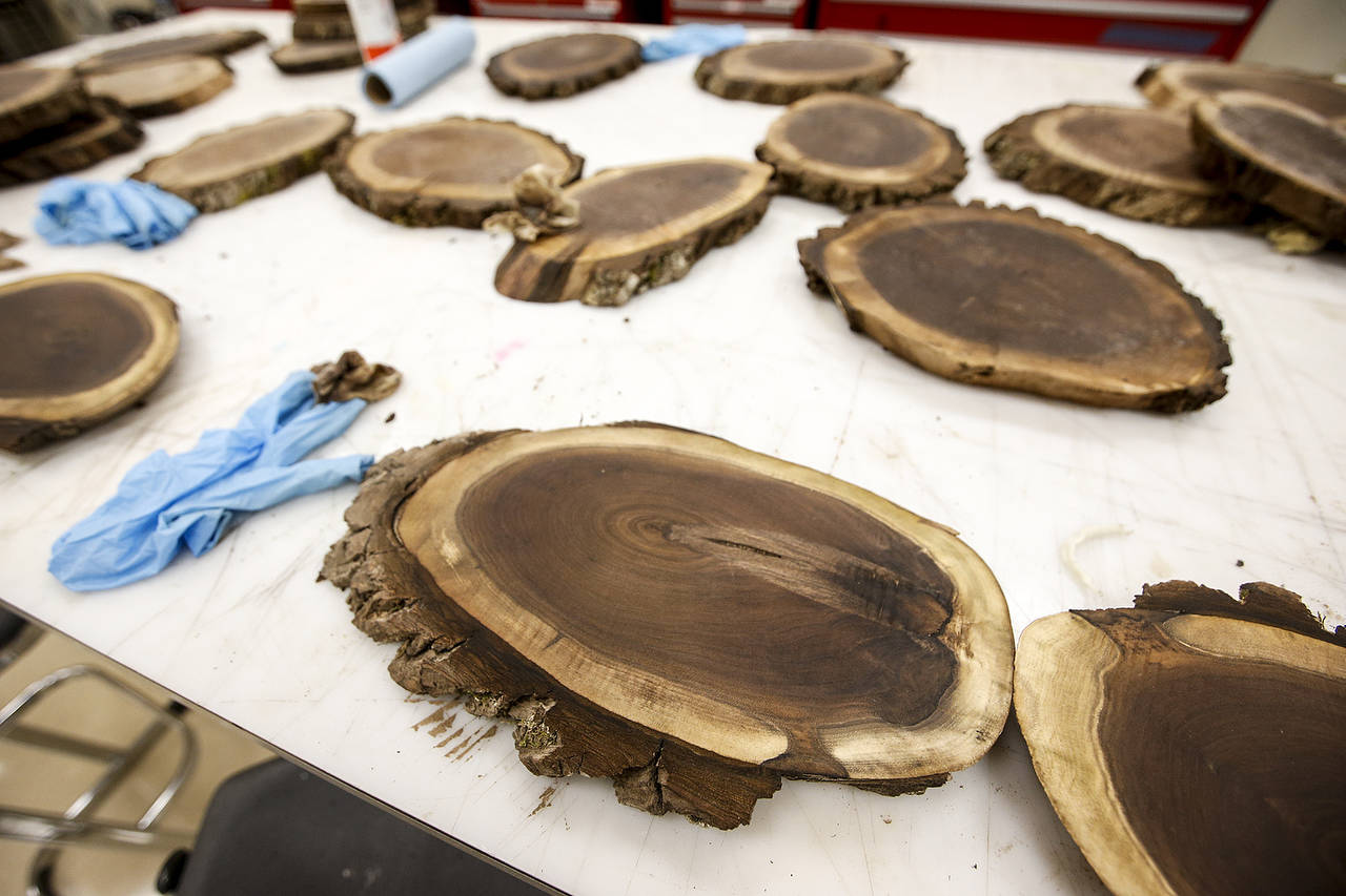 Stained cuts of wood from a walnut tree are seen at Snohomish High School on Thursday, Nov. 2. (Ian Terry / The Herald)