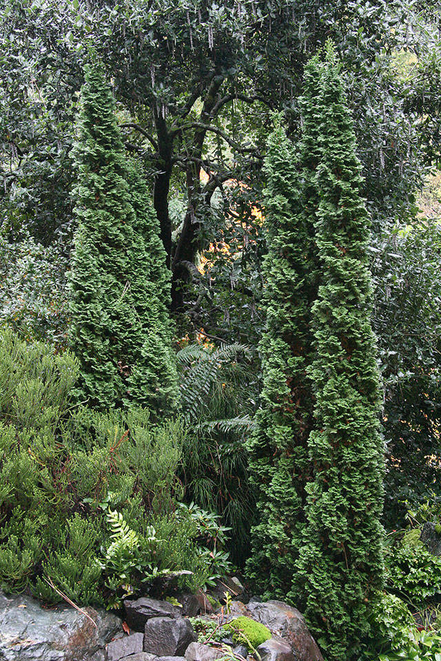 """The """"Degroot's Spire"""" conifer, of intermediate size, is a popular choice for hedging and screening a yard. (Richie Steffen)"""