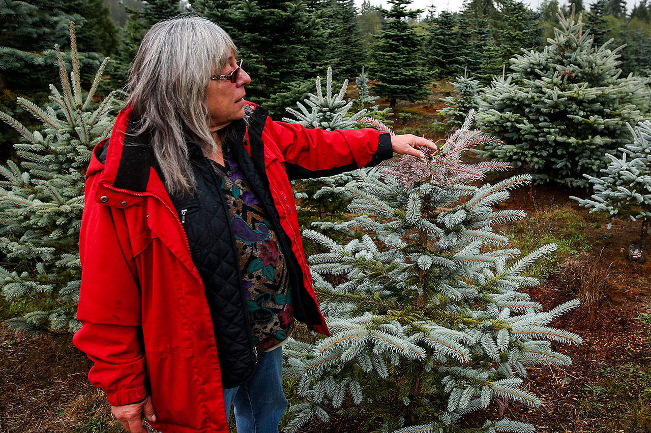 Lanai Hemstrom checks out a Colorado blue spruce tree at her Hemstrom Valley Tree Farm in Granite Falls. (Ian Terry / The Herald)