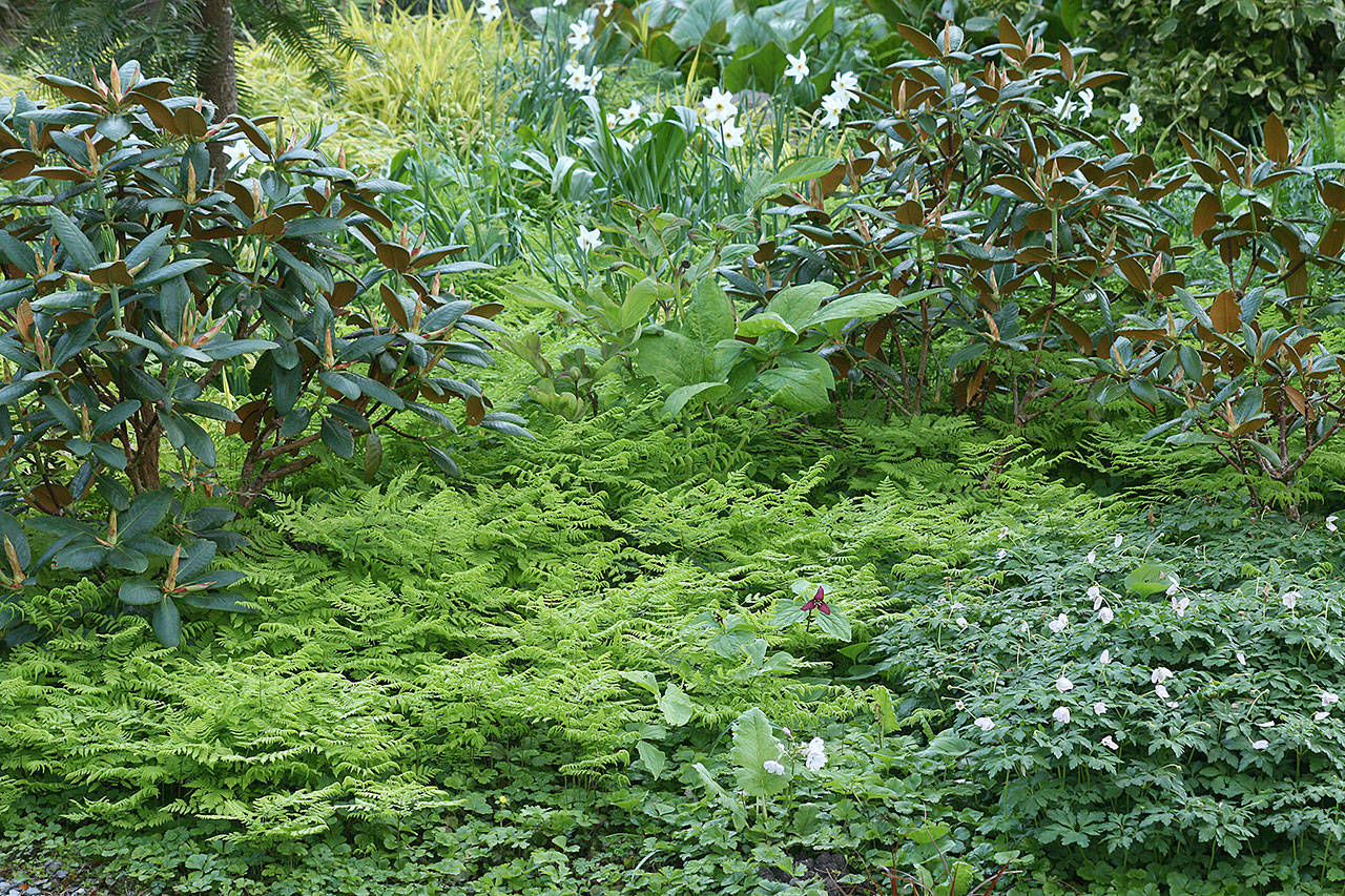 Why Groundcovers Are Essential To The Northwest Garden Heraldnet