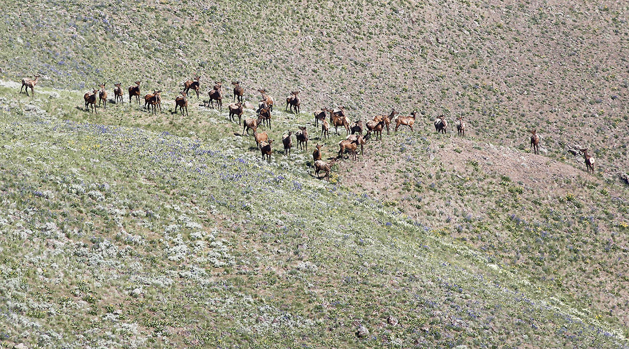In this 2016 photo, a group of about three dozen elk are visible below the summit of Rattlesnake Mountain in easter Washington state. (Bob Brawdy /The Tri-City Herald via AP, File)