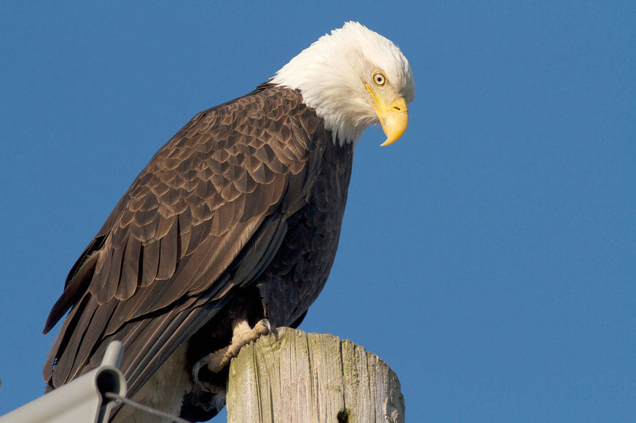 Bald eagles today are familiar sights the Puget Sound region, decades after the pesticide DDT nearly wiped them out. (Photo by Mike Benbow)