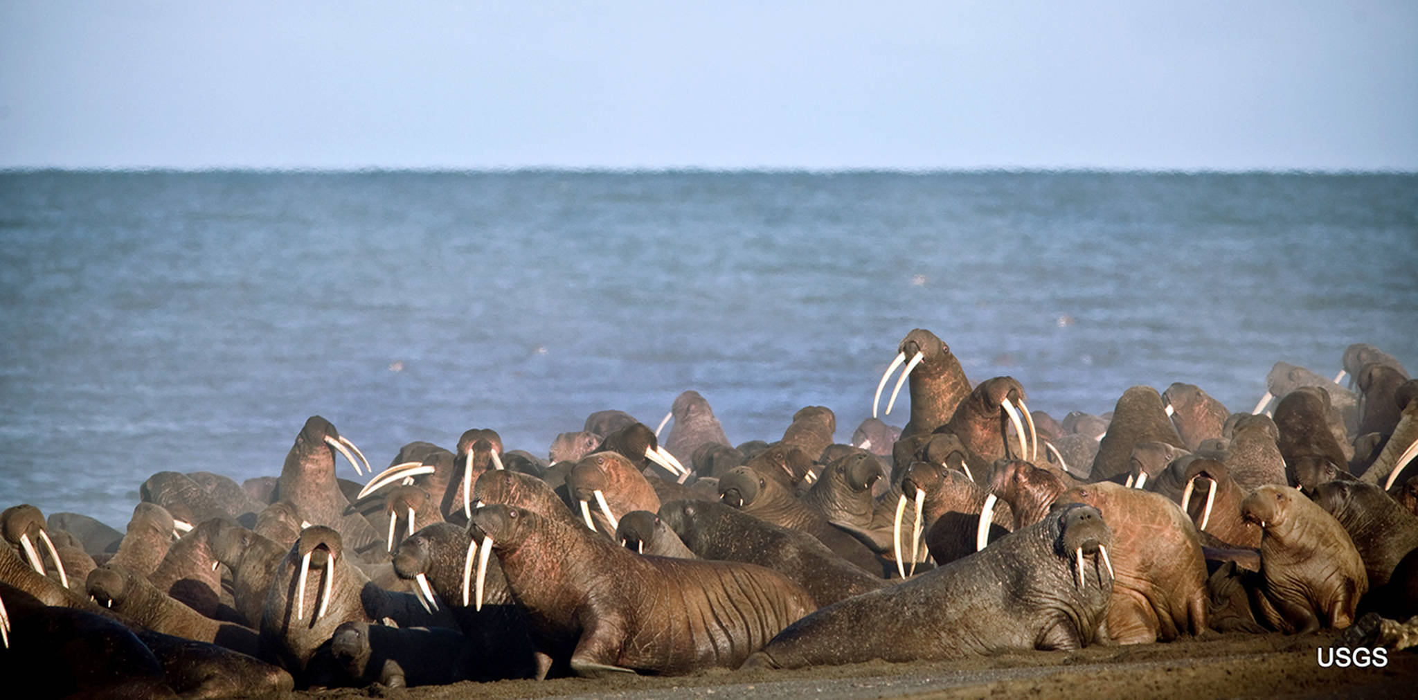 In this September 2013 photo, walruses gather to rest on the shores of the Chukchi Sea near the coastal village of Point Lay, Alaska. (Ryan Kingsbery/USGS via AP, File)