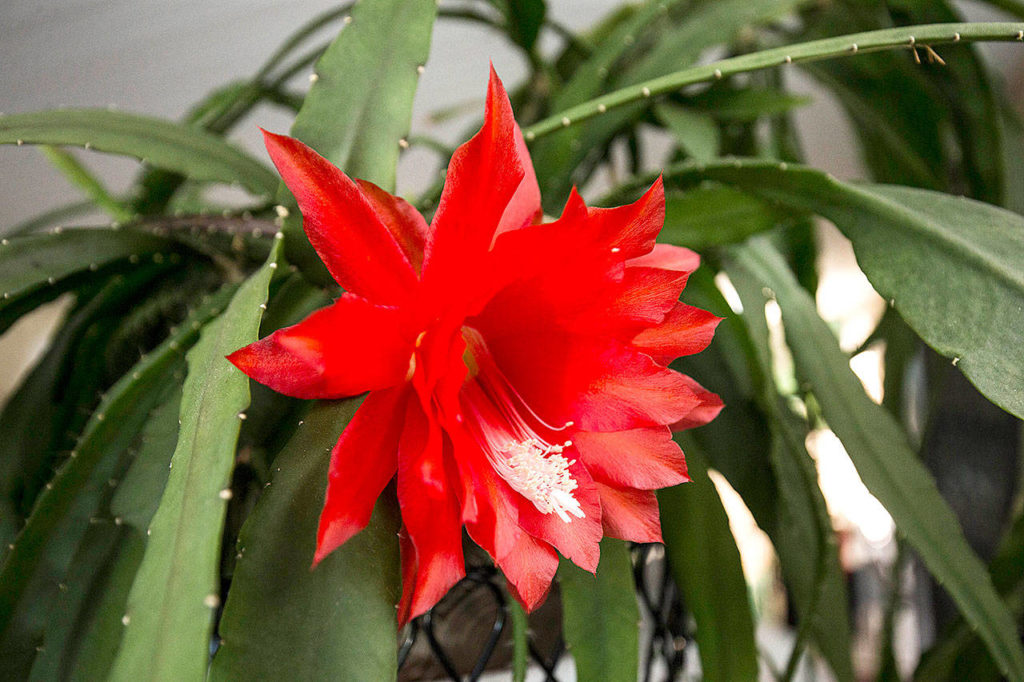 After 18 years, the Opitz' red-flowering cactus no longer has its name tag. But it might be Disocactus x hybridus, perhaps the most commonly grown orchid cacti. (Andy Bronson / The Herald)