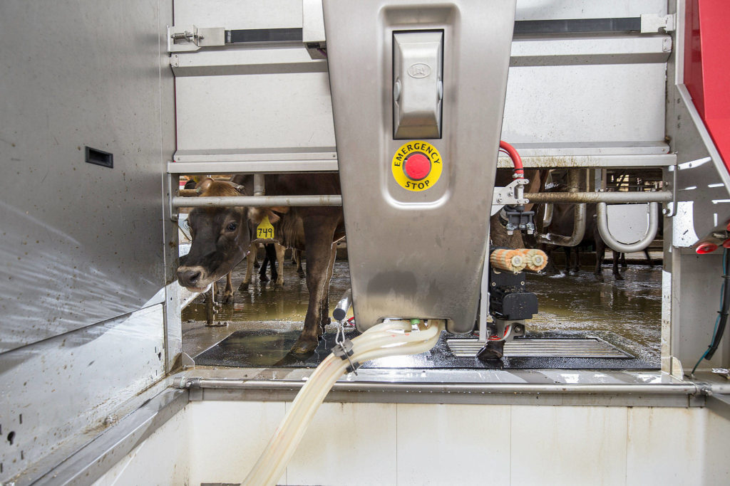 A jersey cow peers out as an automated milking machine begins the milking process. (Andy Bronson / The Herald)