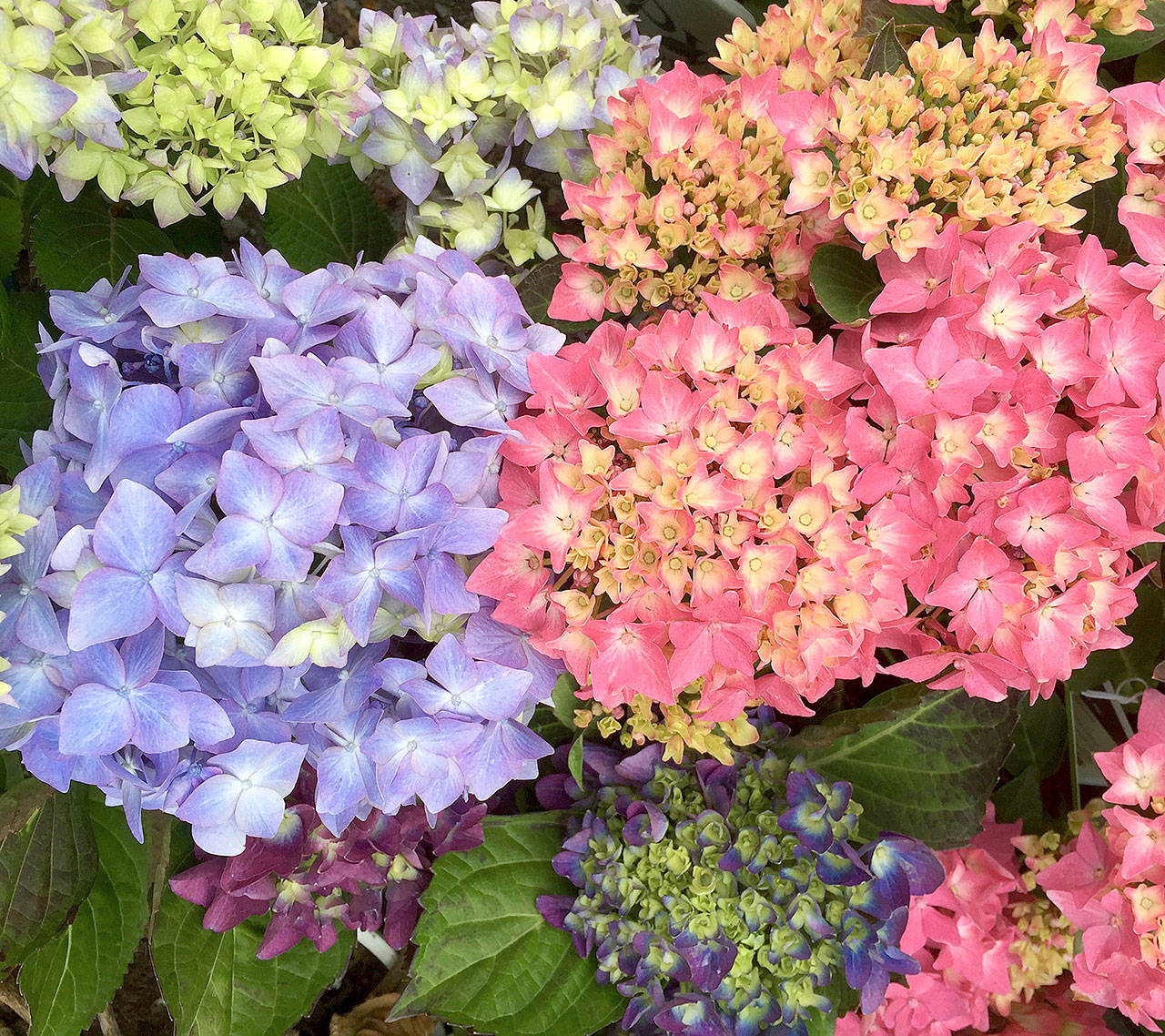 New collections of hydrangeas are reblooming and more compact. (Photo by Nicole Phillips)