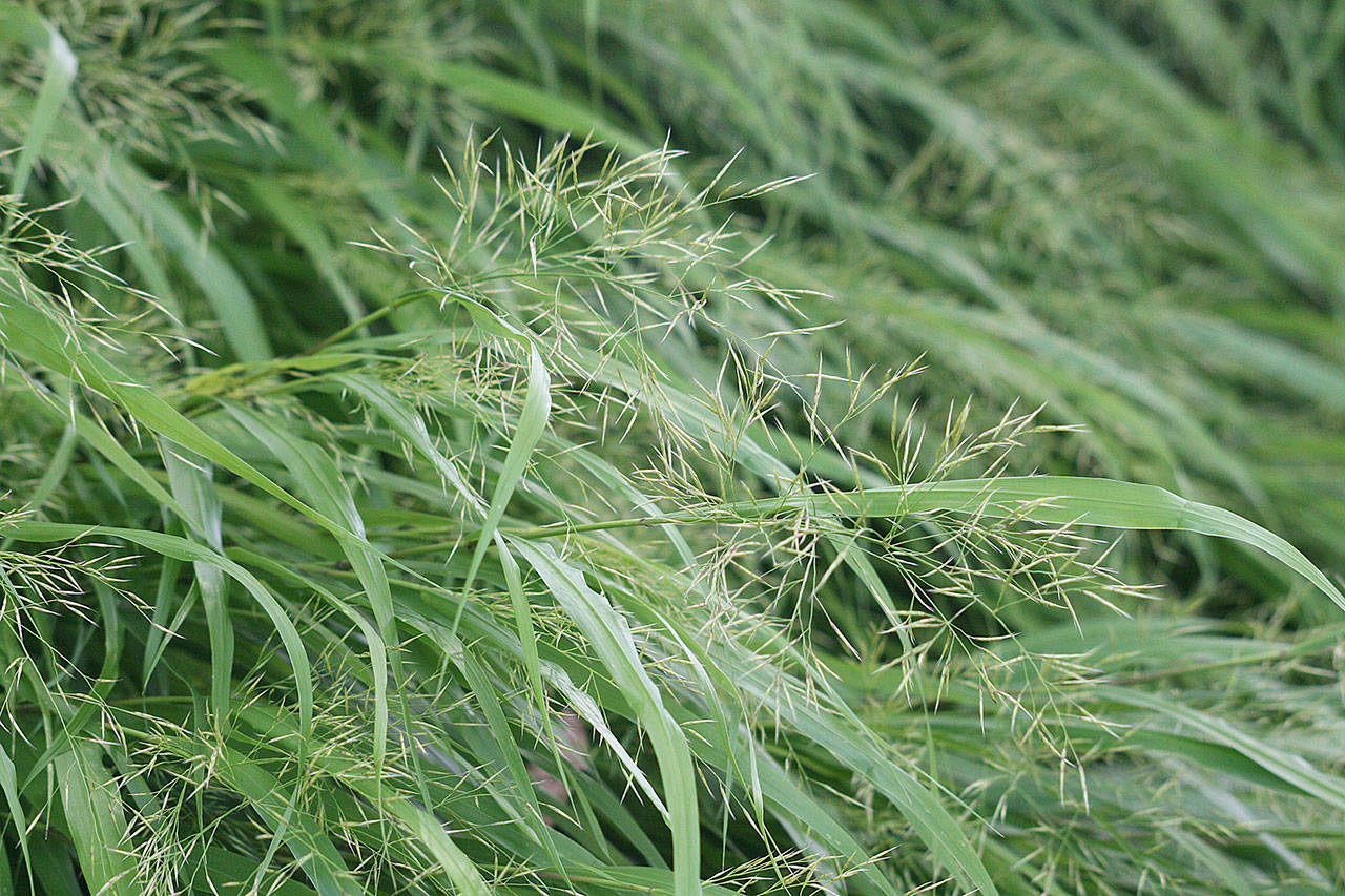 This deciduous grass, with medium-green arching blades, is a natural choice for a Japanese garden. (Richie Steffen)