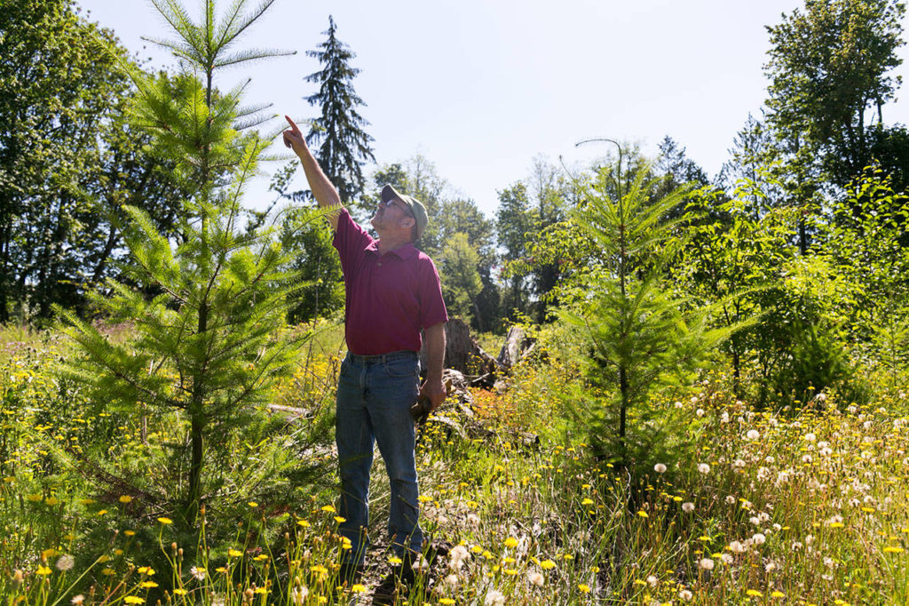 David New describes the efforts to manage new grow on Nourse Tree Farm and will host open house next weekend to celebrate being the Tree Farmer of the Year for Washington. (Kevin Clark / The Herald)
