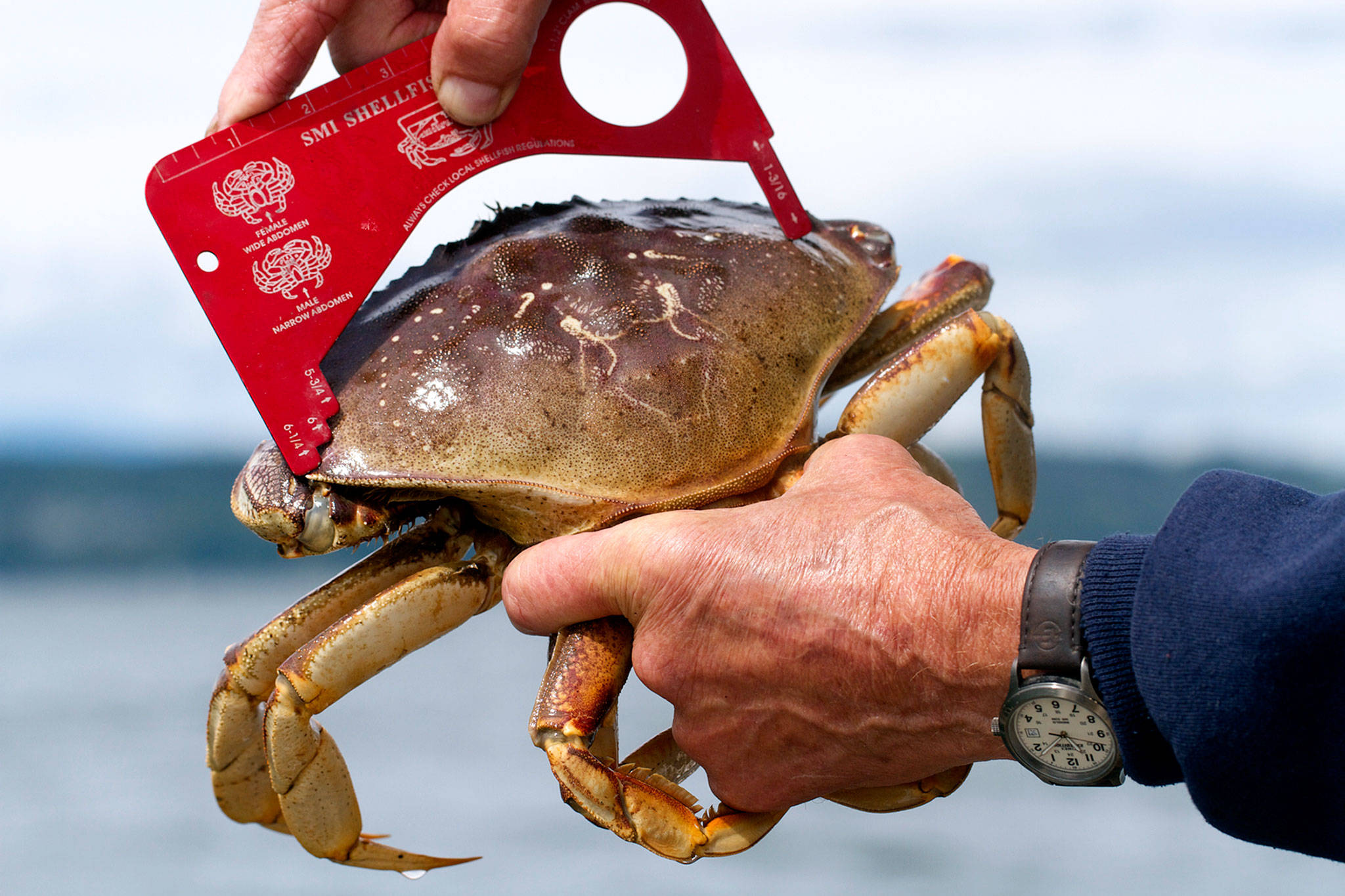 Crabbers need a special tool to quickly check the size of their catch. (Mike Benbow photo)