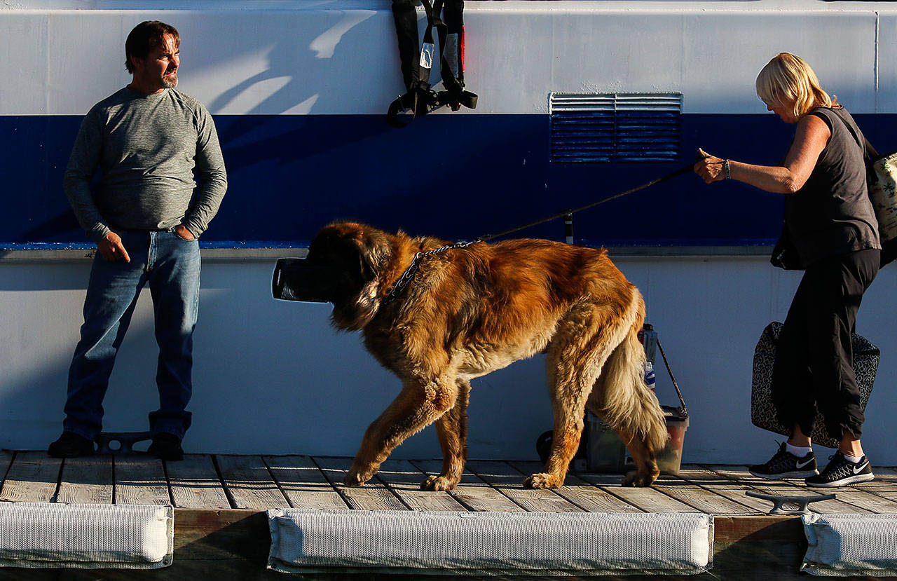 "Linda McCubbin with her Leonberger dog, Ames — muzzled because it is a rule on the ferry — walks past crew member Michael Jablinske to get off the Hat Express Thursday after arriving on the Island. McCubbin and husband, Clint, of Lake Stevens, have had a place on Hat Island for 10 years. ""It's close to home, yet in another world,"" she said. (Dan Bates / The Herald)"
