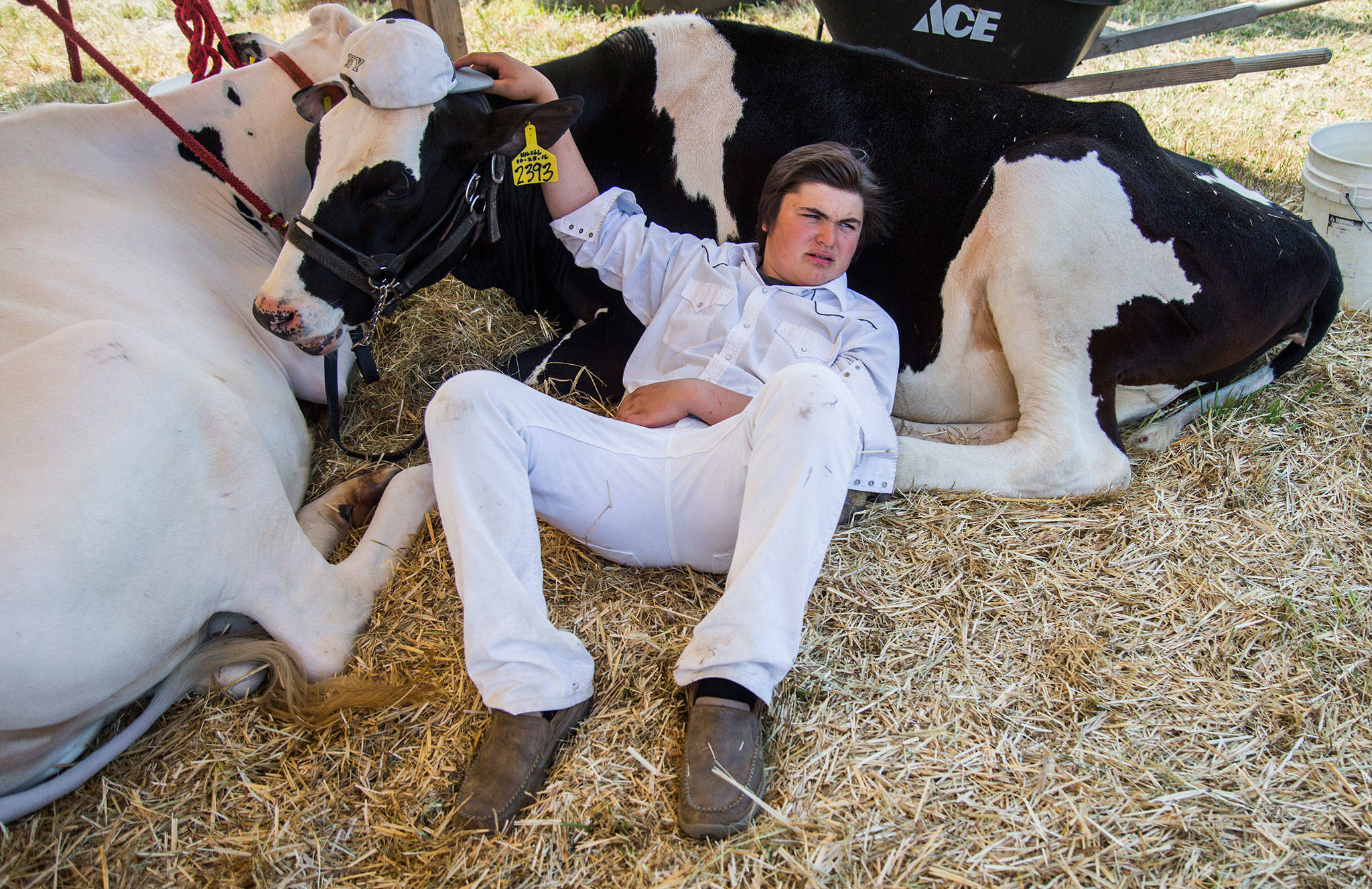 Magnus Cairus lays next to his cow Miss Esther during the Silvana Fair off of Pioneer Highway on Saturday, July 28, 2018 in Silvana, Wa. (Olivia Vanni / The Herald)