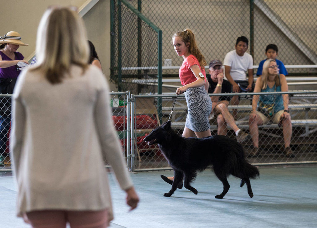 A young girl eyes the judges as she leads her dog during competition on the last day of the Evergreen State Fair on Monday in Monroe. (Andy Bronson / The Herald)