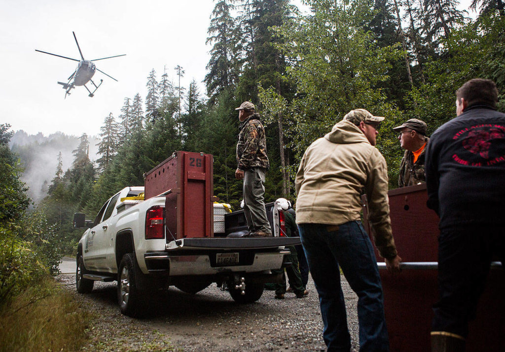 Volunteers help move crates full of goats that will be picked up by a helicopter and flown to their release areas in the North Cascades, on Sept. 12. (Olivia Vanni / The Herald)