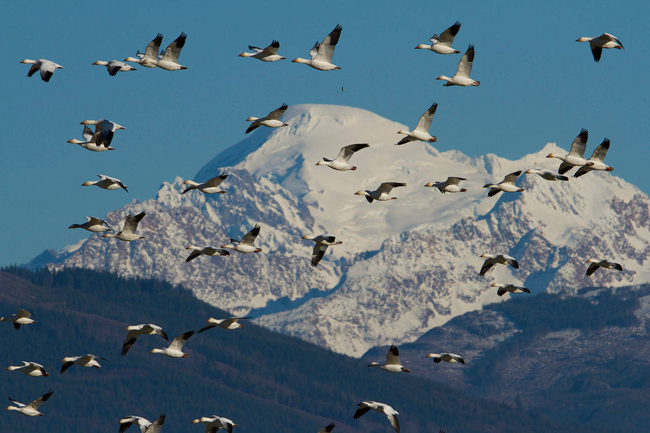 Snow Geese soar over the Skagit Valley with Mount Baker in the background. (Mike Benbow photo)