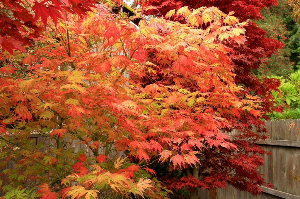 Though They Re Small Dwarf Japanese Maples Offer Big Rewards