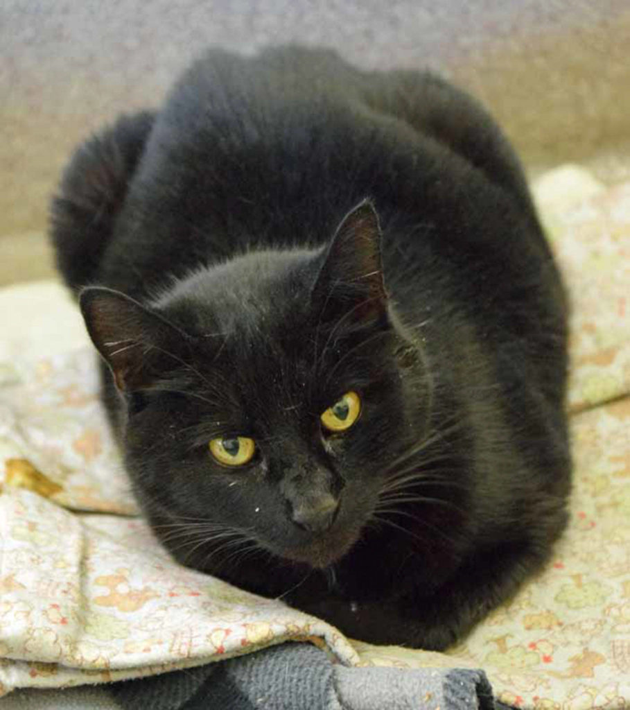 Monster is an easy going guy. He has lived with other cats but will still need a gradual introduction to the resident cat. His history with dogs and small kids is unknown. (Arleigh Movitz/Everett Animal Shelter)