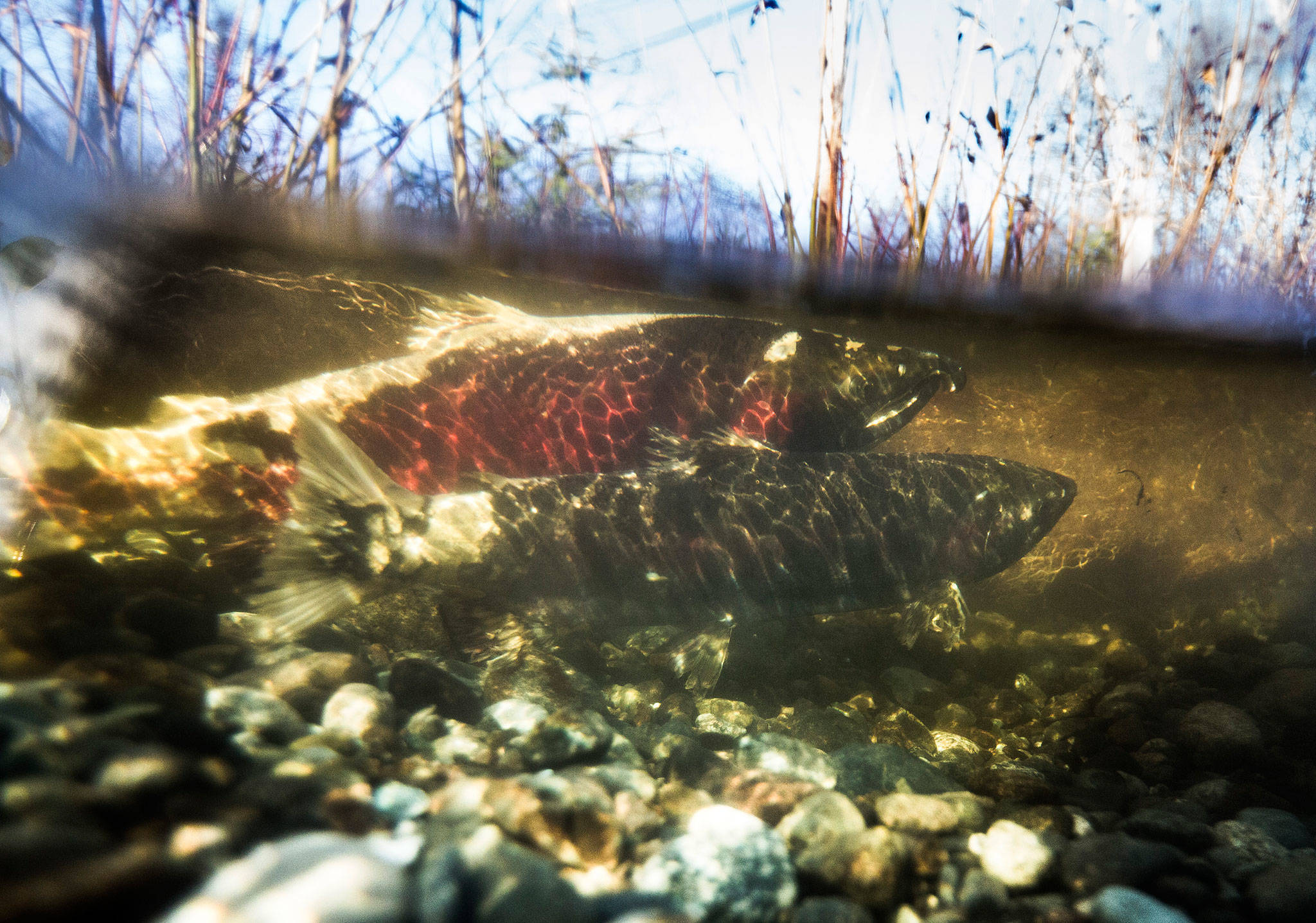 A male and female coho spawn Dec. 3 in the newly revitalized Edgecomb Creek that runs along Highway 531 in Arlington. (Olivia Vanni / The Herald)