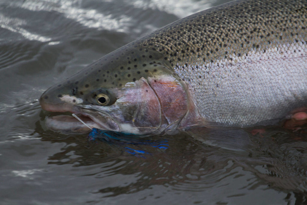 A Skagit River steelhead. (Mike Benbow photo)