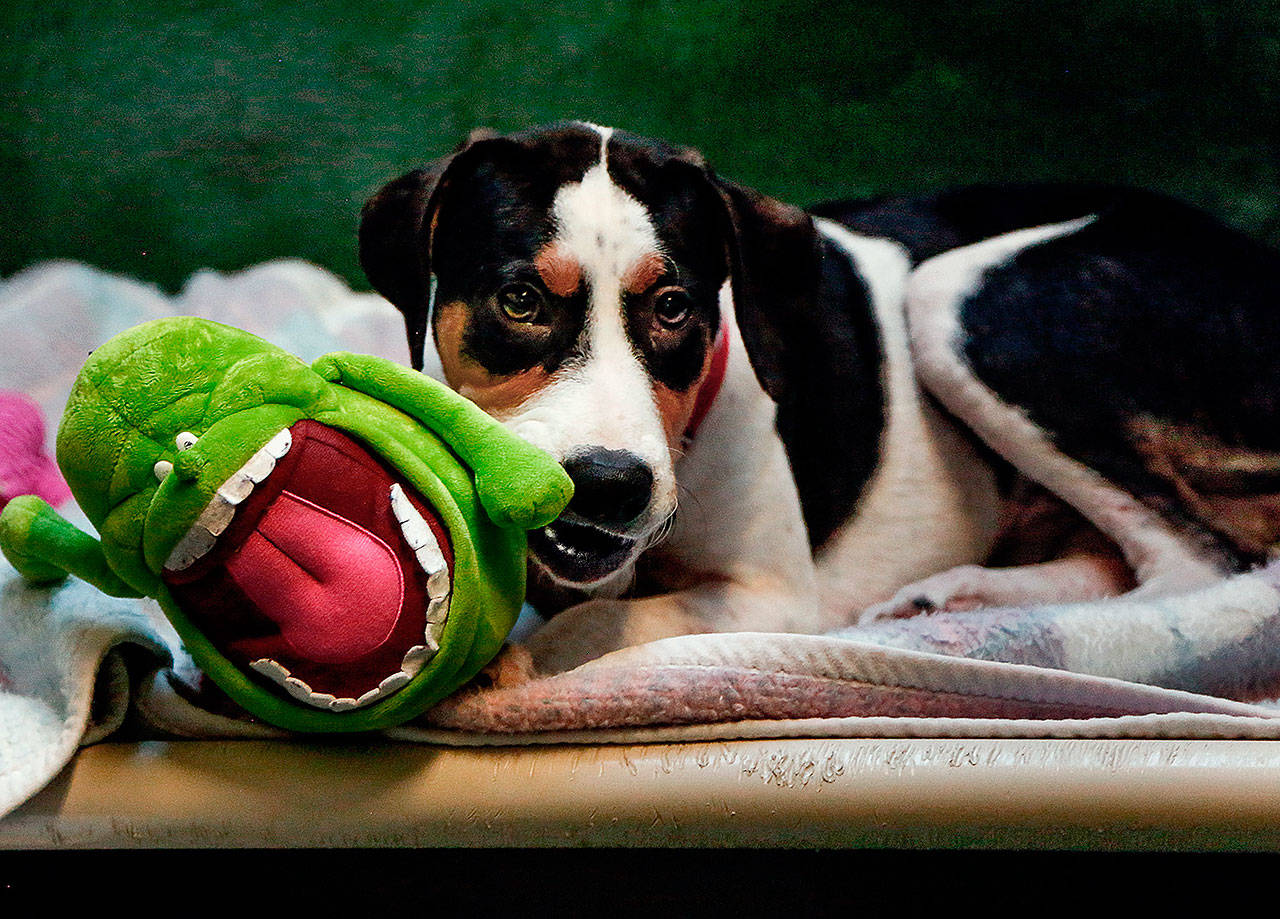 At PAWS in Lynnwood, Jack, a young beagle mix from Texas, chews on a comfort creature while waiting for adoption. (Dan Bates / Herald file)