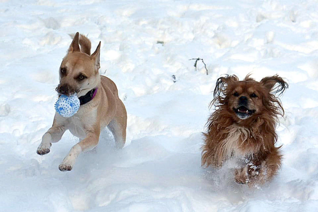 Dogs Penny and Mikee tag team a game of fetch in the snow in Tulalip. (De Ann Argle)