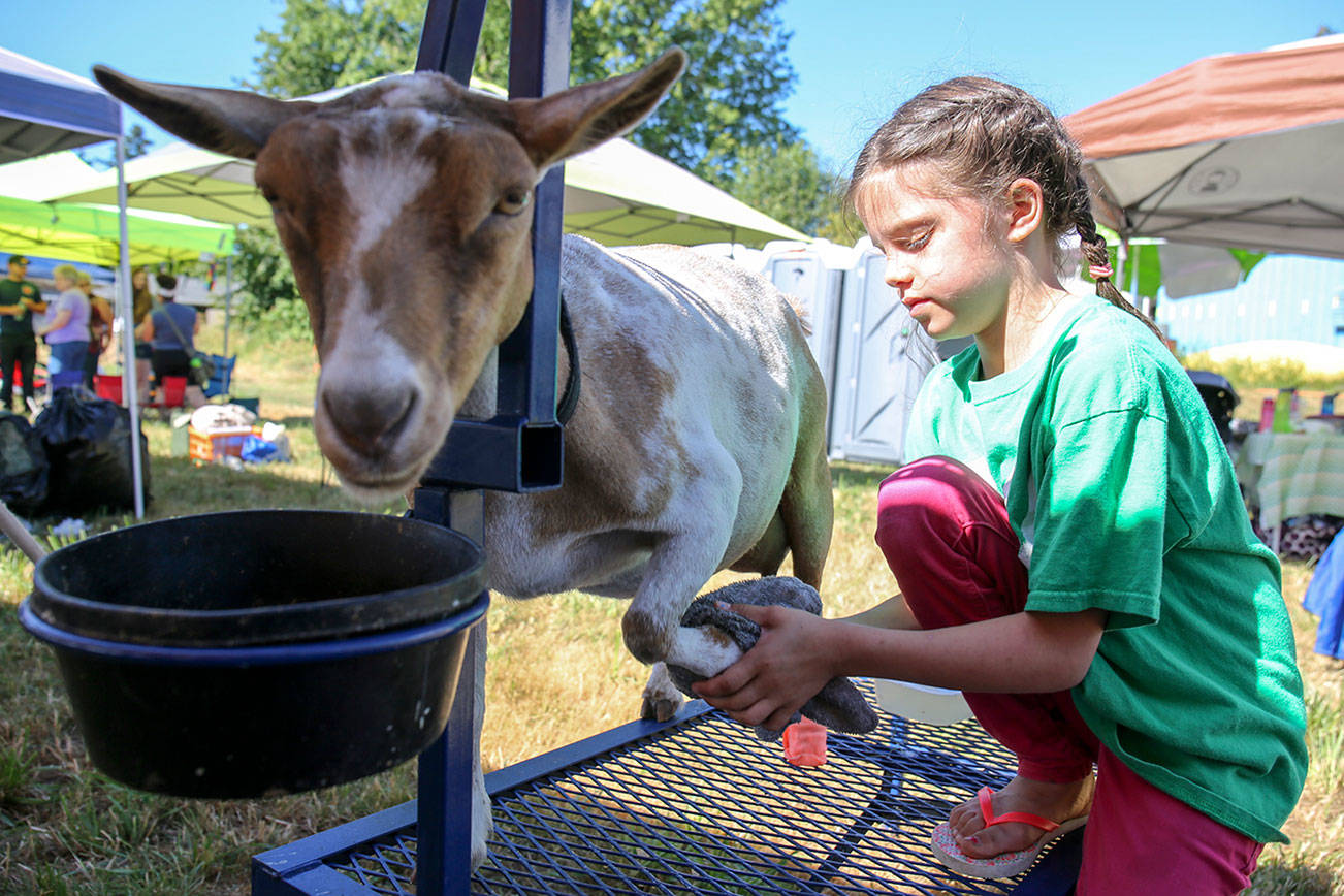 Audrey Strovas, 9, preps Blanchet for showing during the 70th Annual Silvana Fair Saturday morning in Silvana on July 29, 2017. (Kevin Clark / The Herald)
