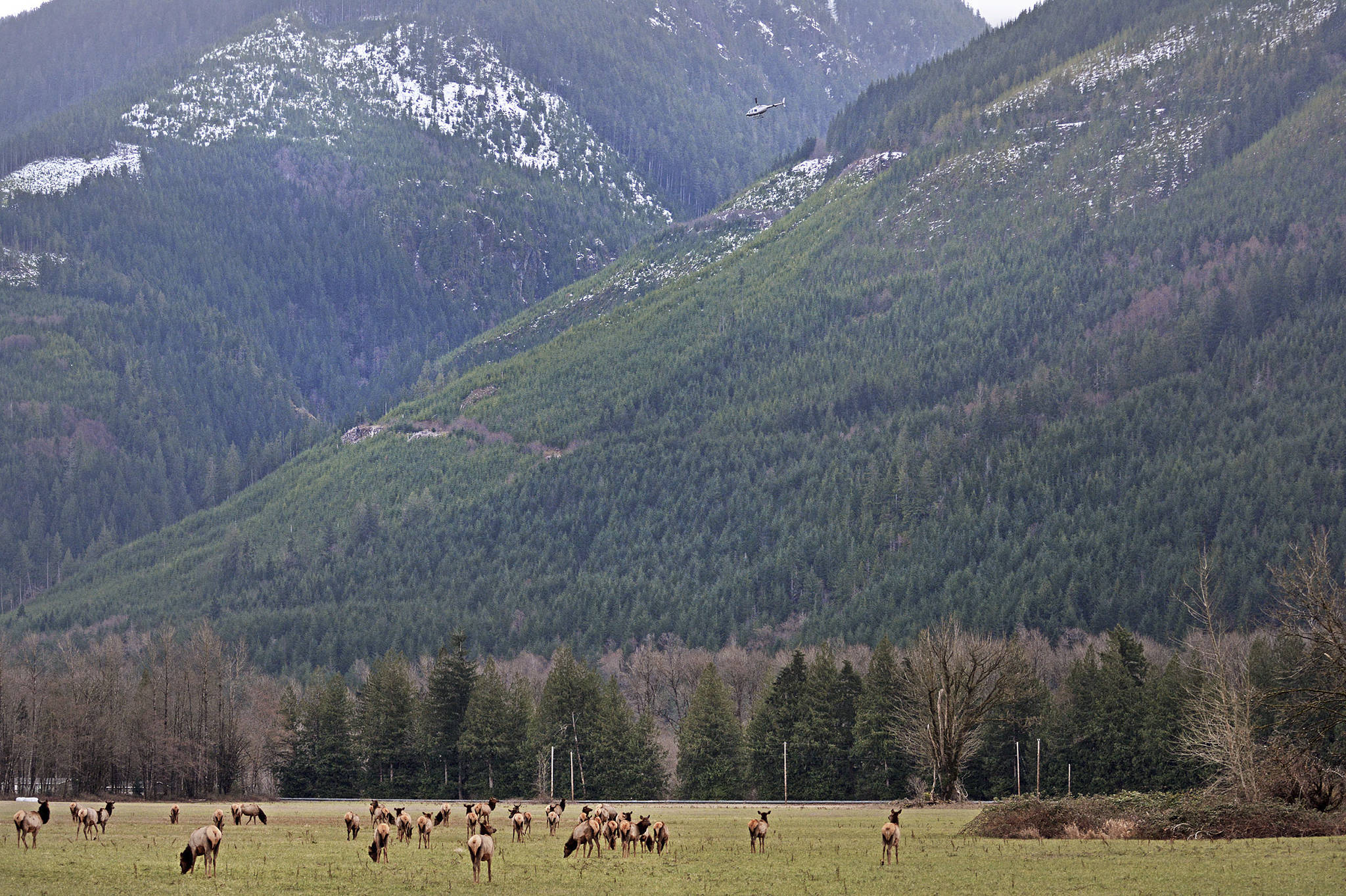 New Plan Aims To Hunt Haze Elk Herd Out Of Skagit Valley