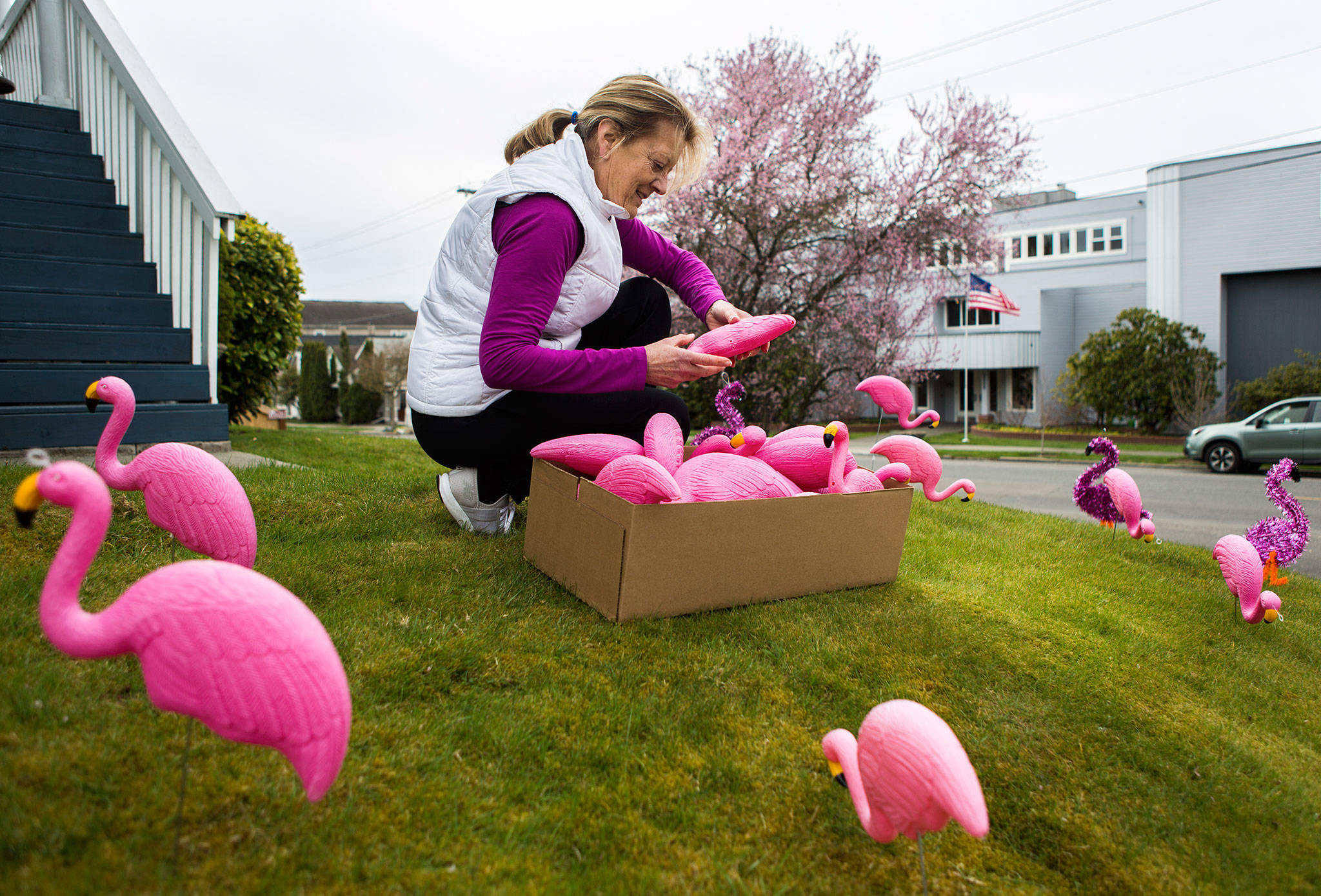 "Suzanne Williamson picks up flamingos left in her yard by friends in celebration of her 70th birthday. ""I did it for their birthday so this was payback for all the neighbors to see,"" Williamson said. ""I would have picked them up yesterday but I was too hungover."" (Olivia Vanni / The Herald)"