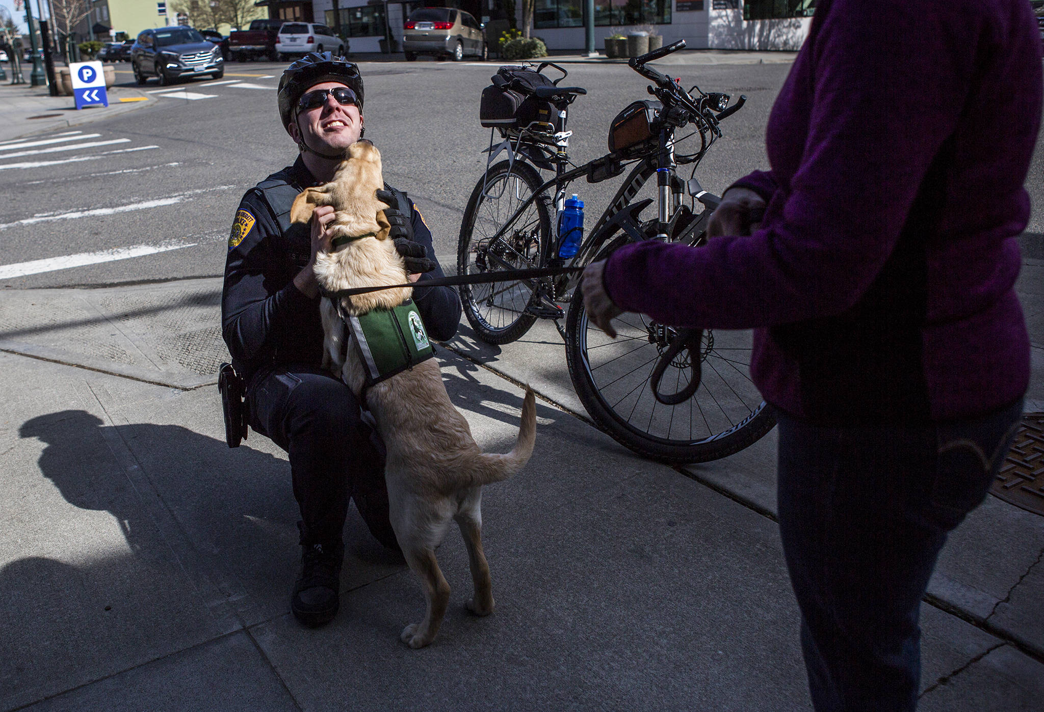 Jedi, a service dog in training, greets Officer Nelson of the Everett Police Department on March 27 in Everett. (Olivia Vanni / The Herald)