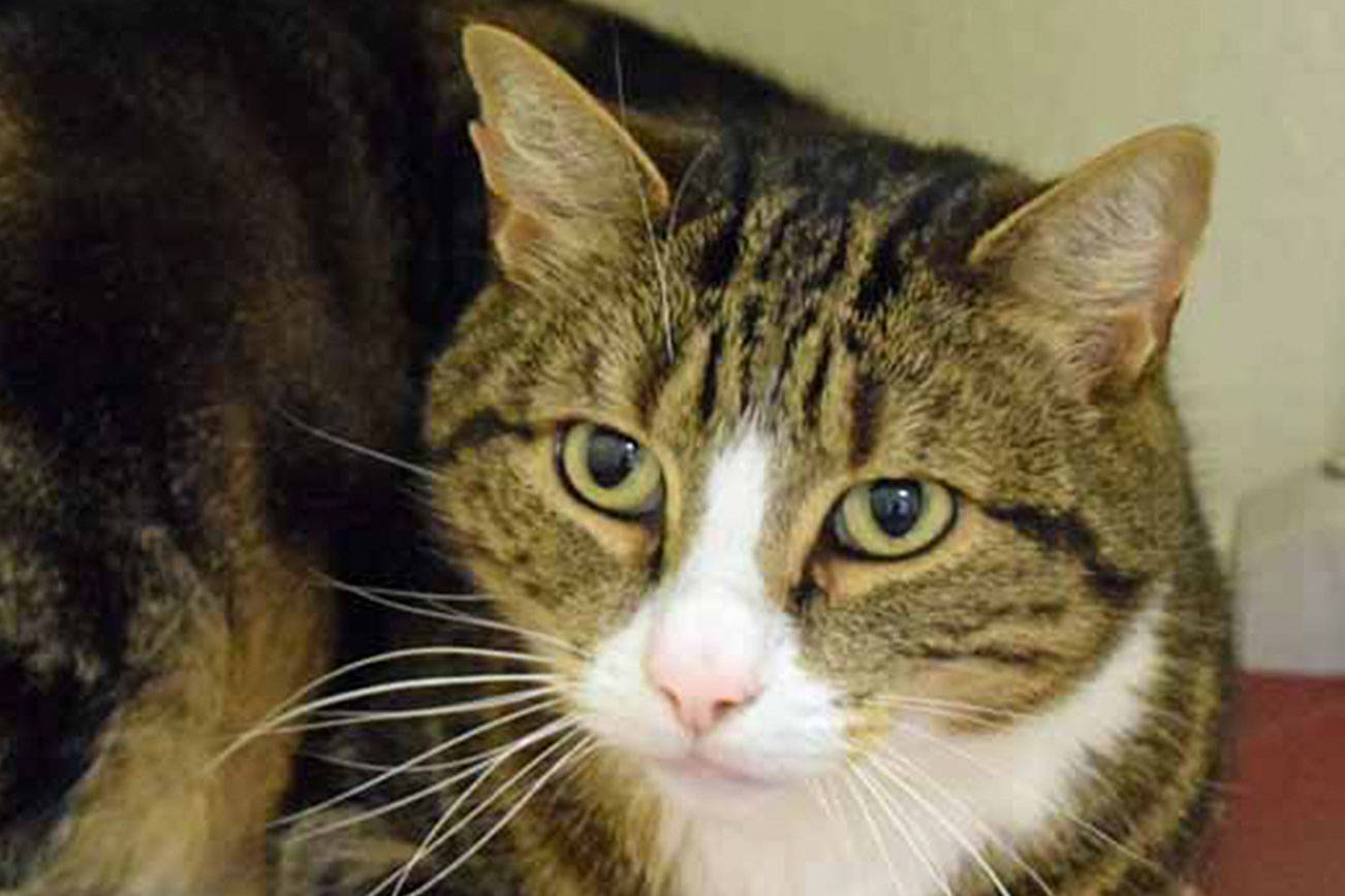 Four fine felines are up for adoption in Everett