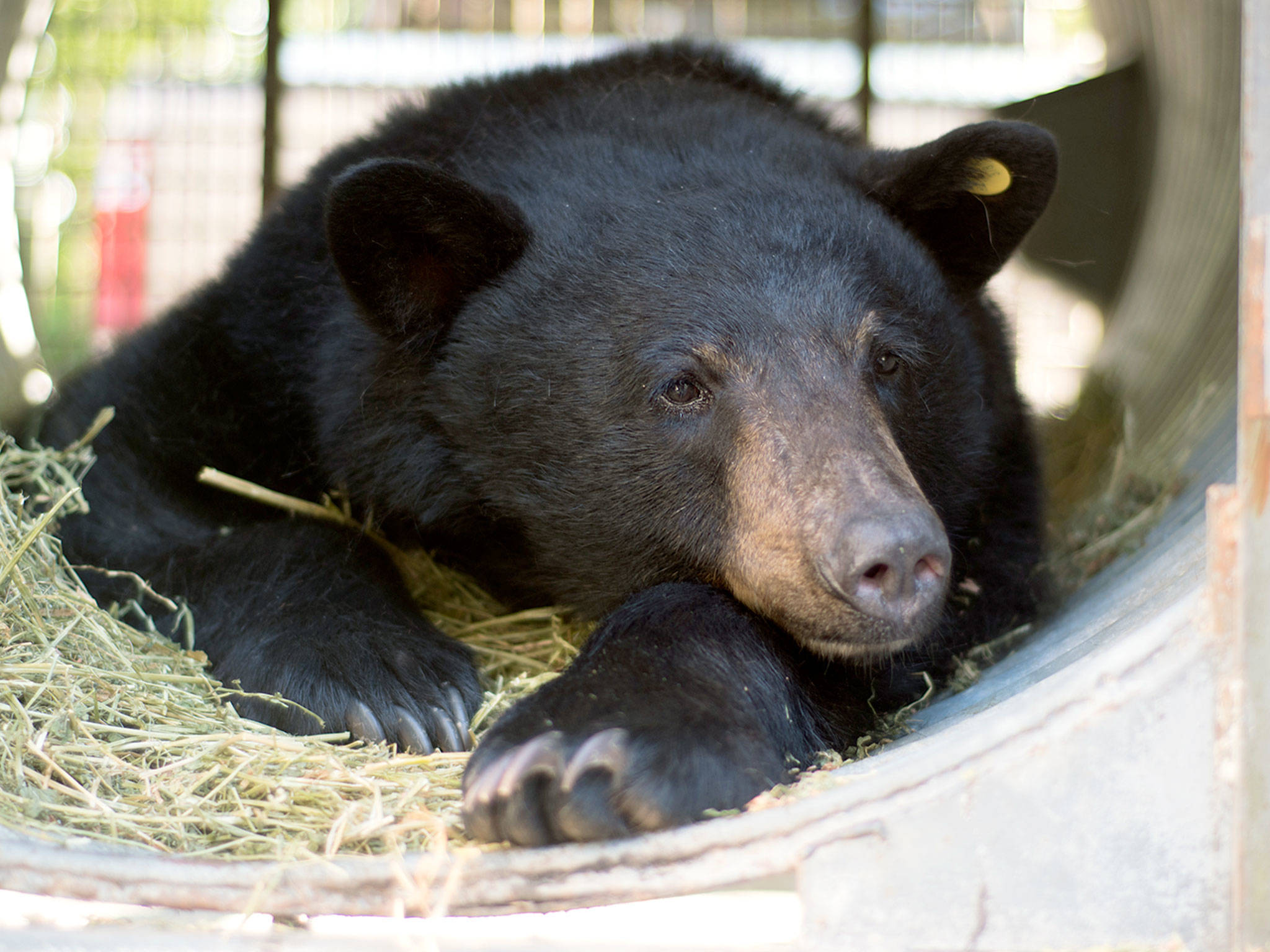 """Inside a culvert trap, a black bear nicknamed """"Black Pearl"""" waits for her release into a meadow in the Cascade Mountains on Tuesday. (PAWS)"""
