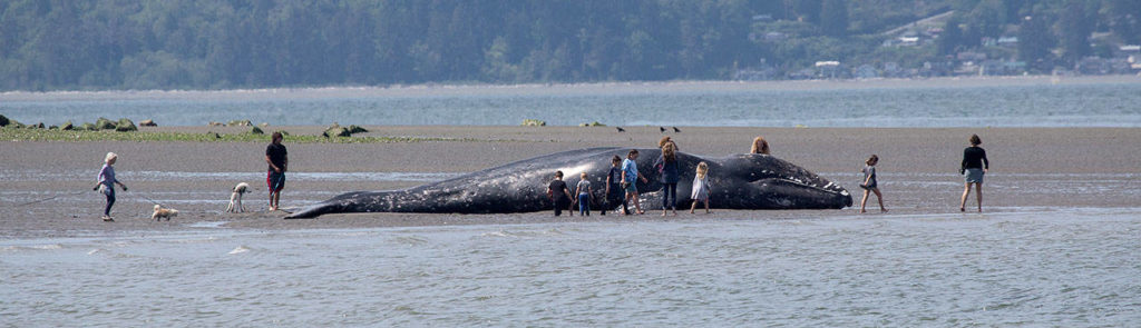 Adults and children on Monday look over a dead gray whale that washed ashore near Harborview Park in Everett. (Andy Bronson / The Herald)