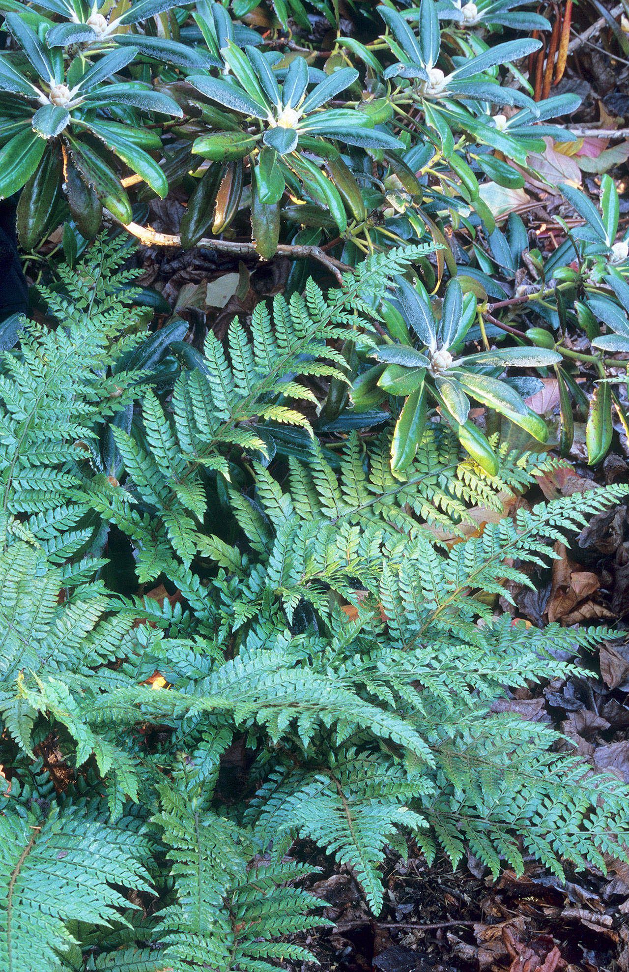 Richie Steffen                                 This holly fern, with its olive-green fronds, gives the garden a more refined, sophisticated look.