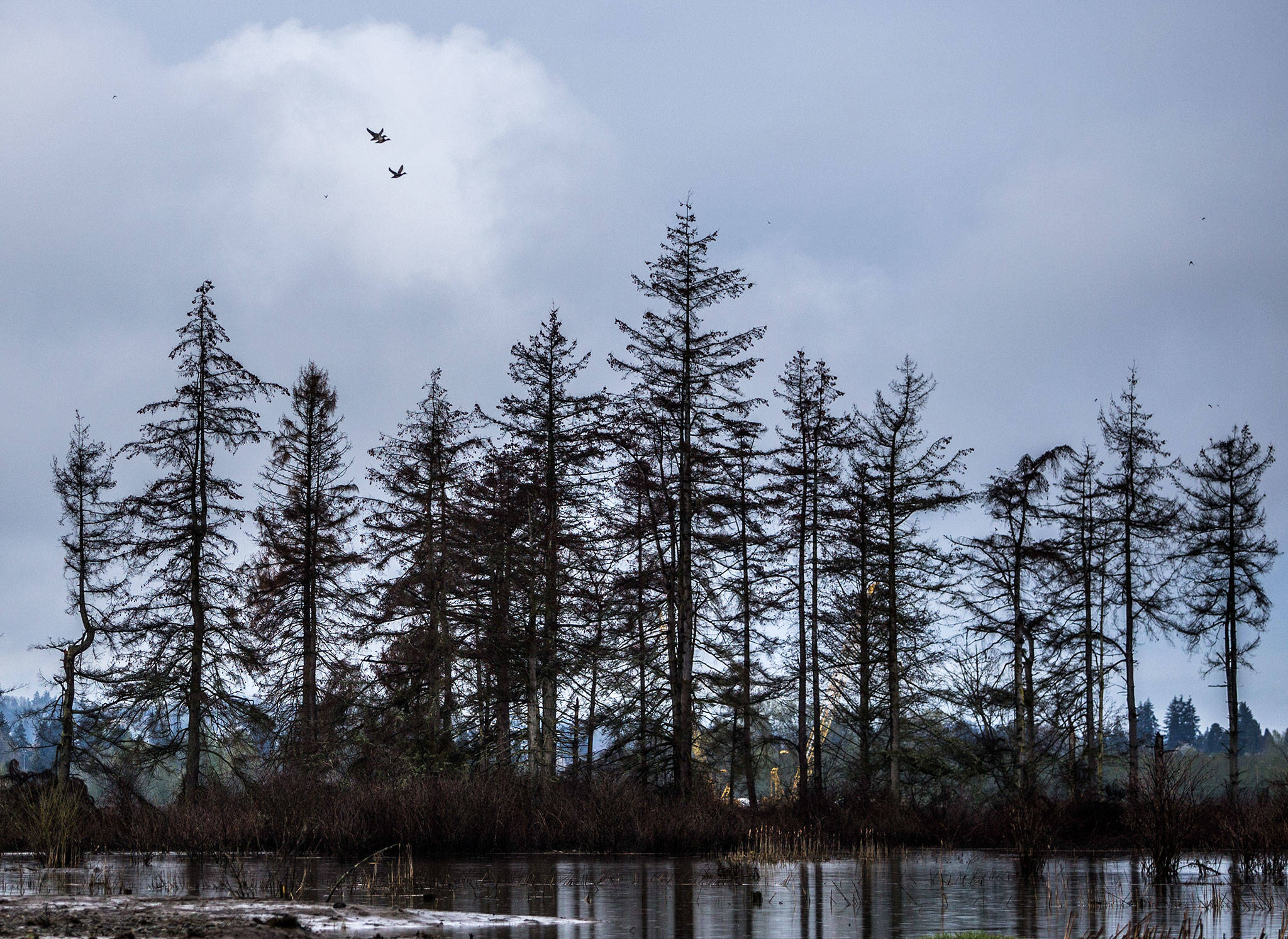 Ducks fly above the recently restored wetland area of Smith Island along Union Slough on April 11 in Everett. (Olivia Vanni / The Herald)