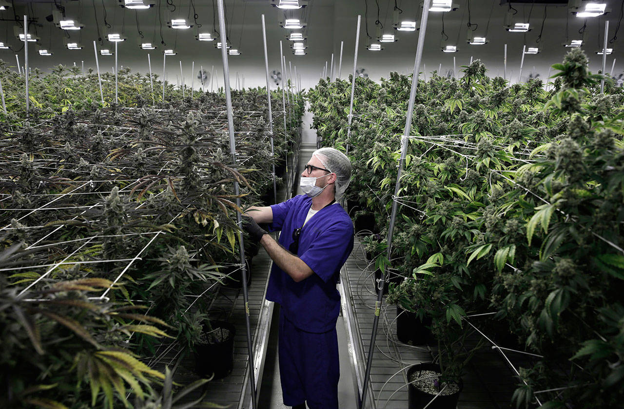 Alessandro Cesario, the director of cultivation, works with marijuana plants at the Desert Grown Farms cultivation facility in Las Vegas in 2017. Nevada is set to pioneer a law to prevent job-seekers from being immediately rejected for work based on a positive marijuana test. (AP Photo/John Locher, File)