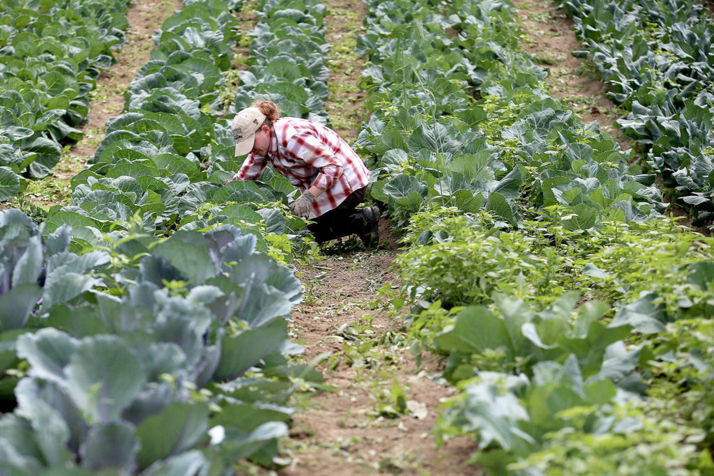 Margaret Felts does some weeding at Skylight Farms in Snohomish on July 9. (Kevin Clark / The Herald)