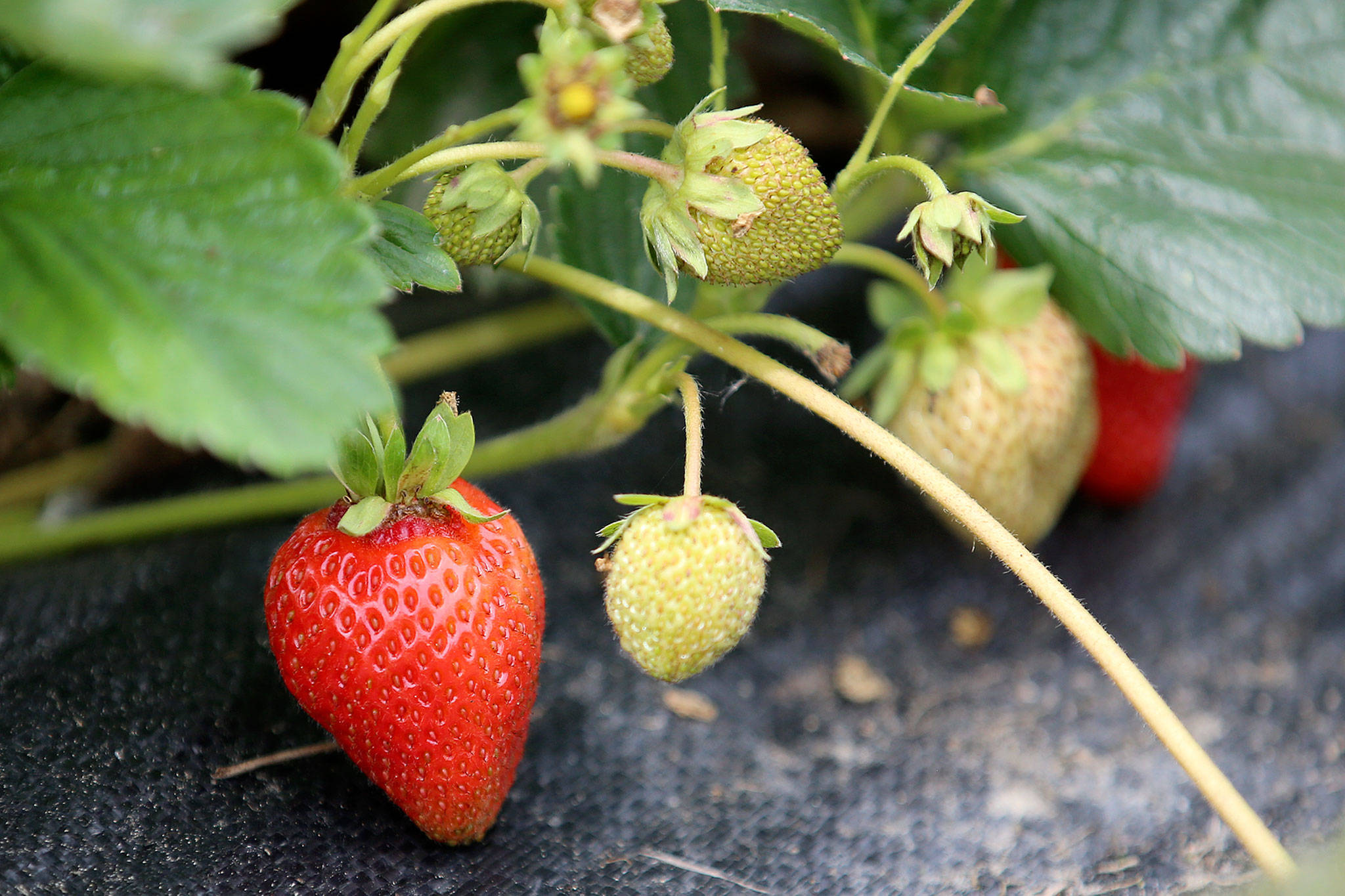 Strawberries grow at Skylight Farms in Snohomish on July 9. (Kevin Clark / The Herald)