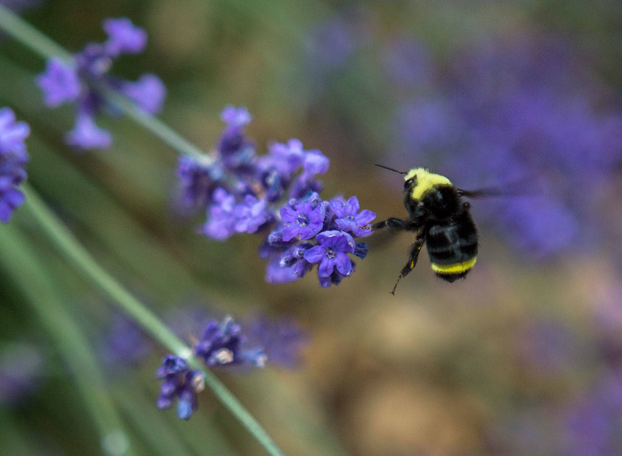 A bee pollinates a lavender flower in David Brown and Michael Hrankowski's garden in Edmonds. (Olivia Vanni / The Herald)