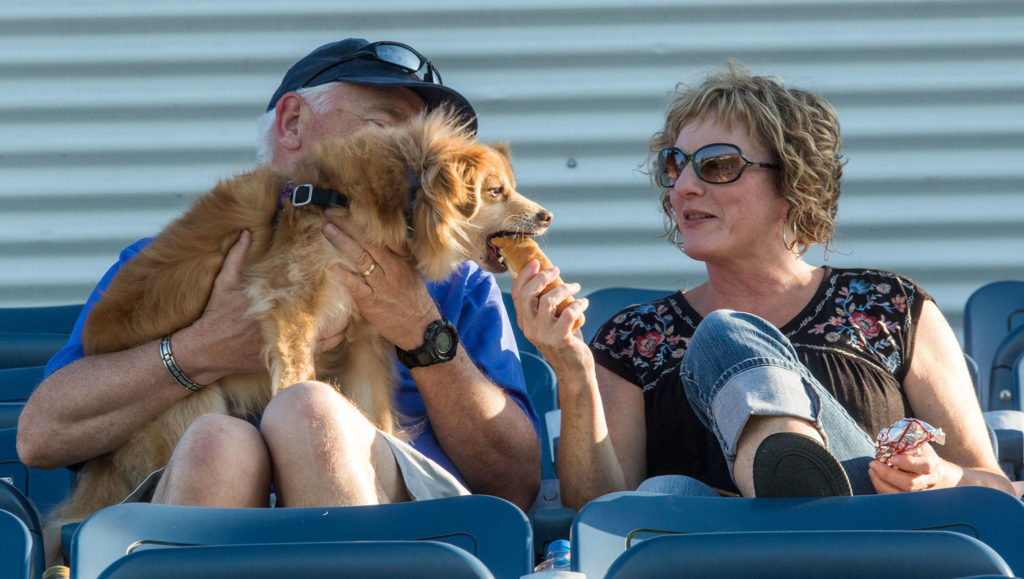 Leo, a pomerianian beagle, gets a bite of a hot dog from owner Colleen Temple at Bark in the Park at Funko Field on Monday, July 22, 2019 in Everett, Wash. (Andy Bronson / The Herald)