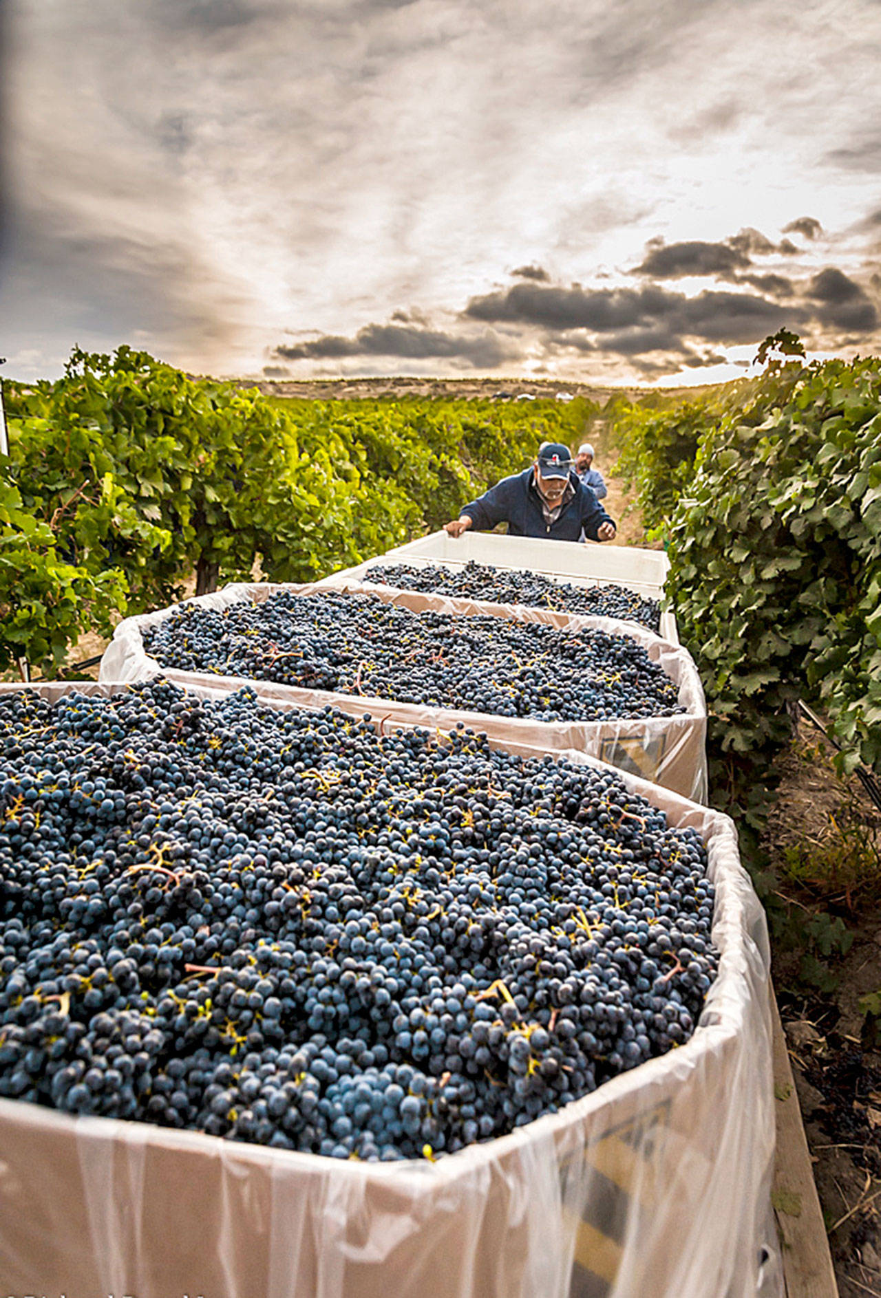 Bins of cabernet sauvignon now signal the largest harvest of grapes in the Washington state wine industry. (Richard Duval Images)