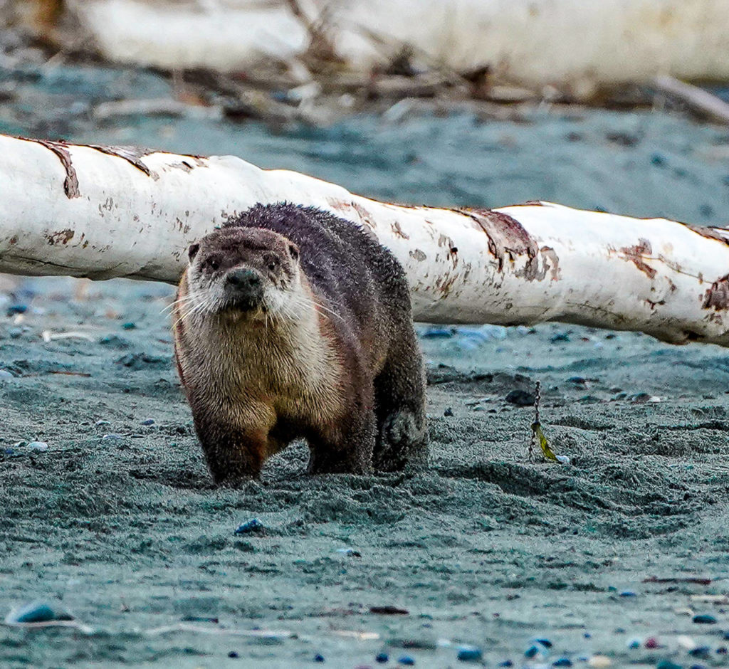 Otters are most active at dawn and dusk. (Heide Island)