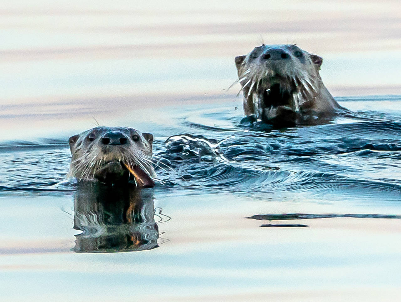 "Otters are an ""ecological canary in the coal mine."" (Heide Island)"