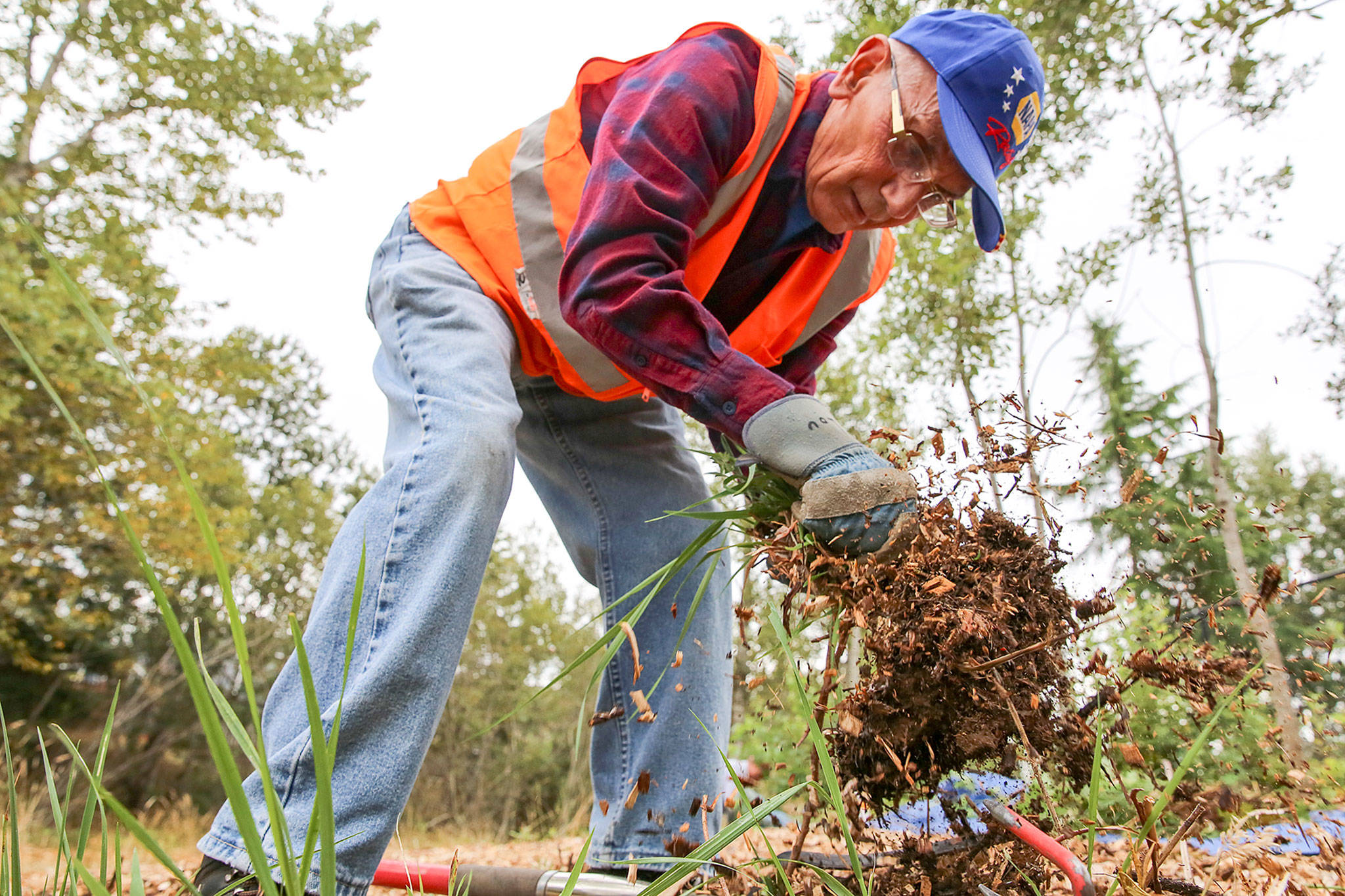 Lou Rector pulls invasive plants Saturday morning at Hannabrook Park in Everett on August 17, 2019. (Kevin Clark / The Herald)