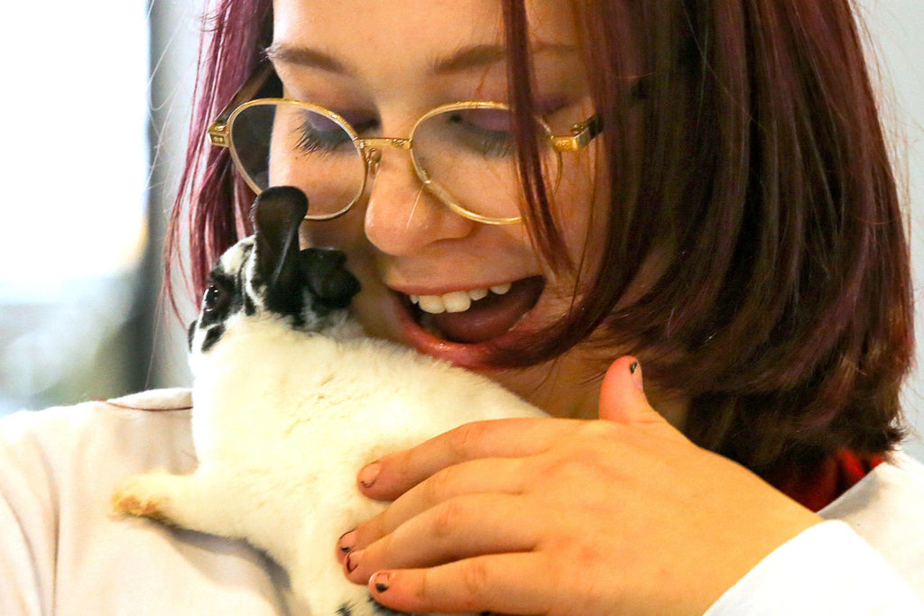 Gillian Osthimer examines a bunny Wednesday afternoon at the Evergreen State Fairgrounds in Monroe on August 21, 2019. (Kevin Clark / The Herald)