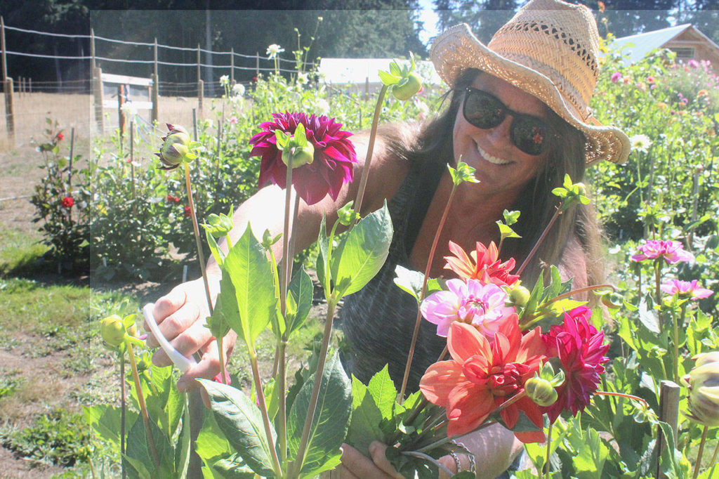 Tamara Knapp, great-grandaughter of homesteader Al Anderson, runs the family farmhouse built in 1907 and tends the 370 dahlias growing this summer. (Wendy Leigh / South Whidbey Record)