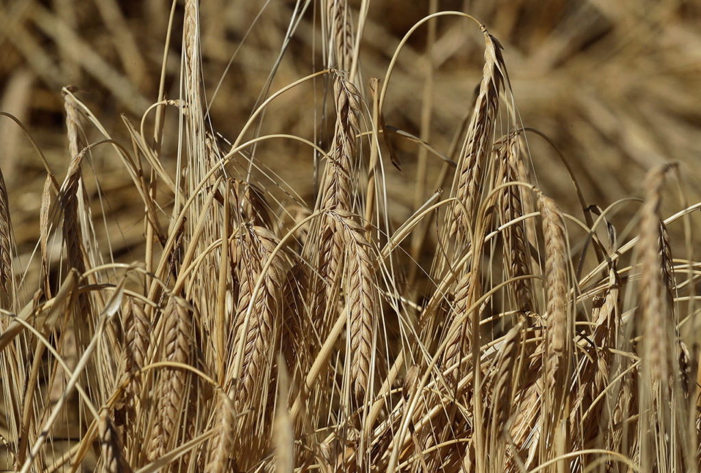 Barley ready for harvest by horse and mule teams in a field near Colfax. (Ted S. Warren / Associated Press)