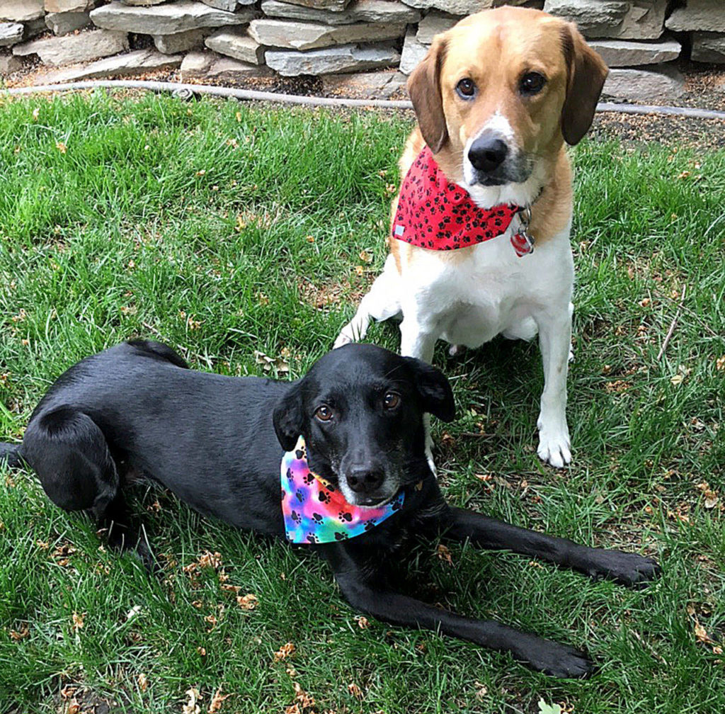 """Skye and Sam model Nan Clute's """"dogdannas,"""" which are fashionable bandanas for dogs. (Nan Clute)"""